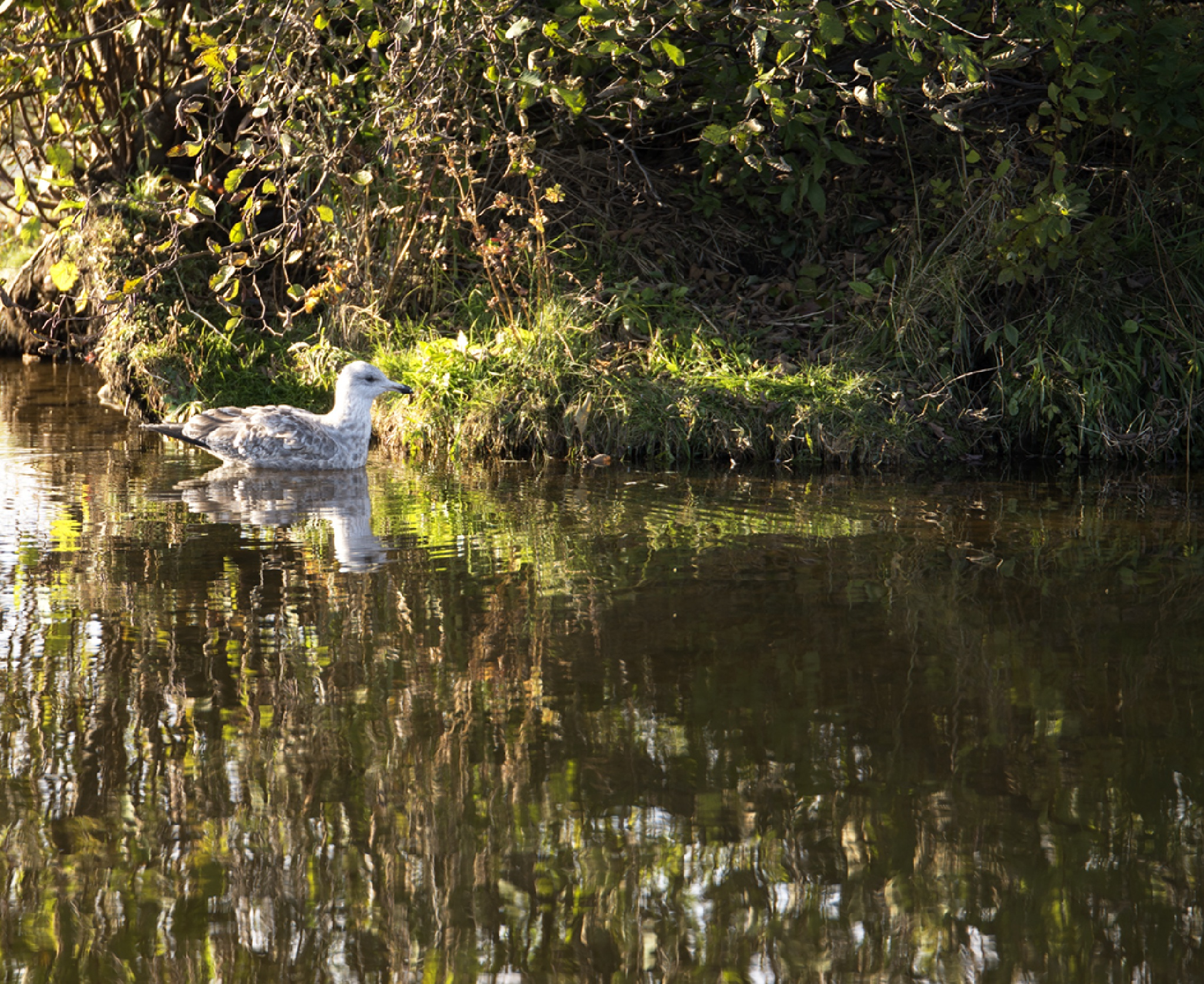 Gull at Rest by Wayne L. Talbot
