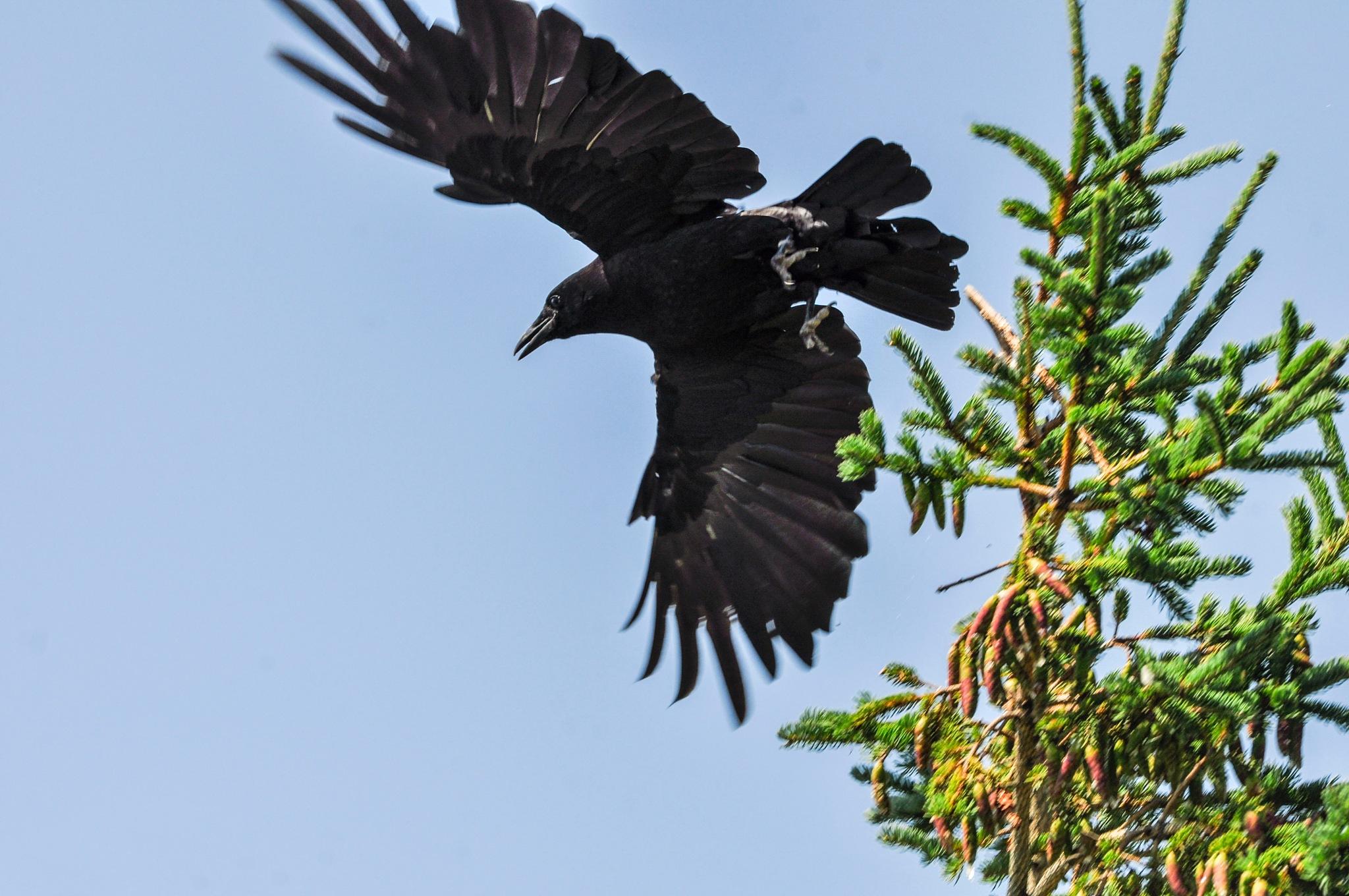 Startled Crow by Wayne L. Talbot