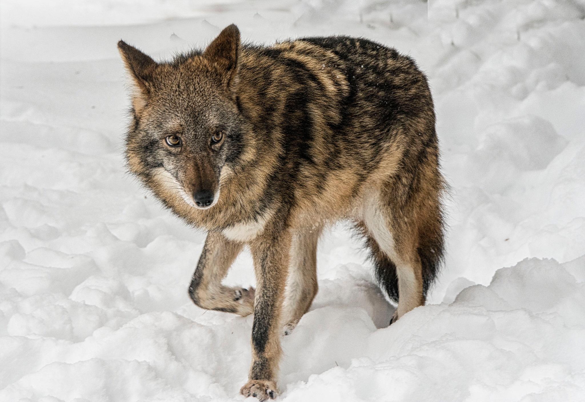 Coyote  by Wayne L. Talbot
