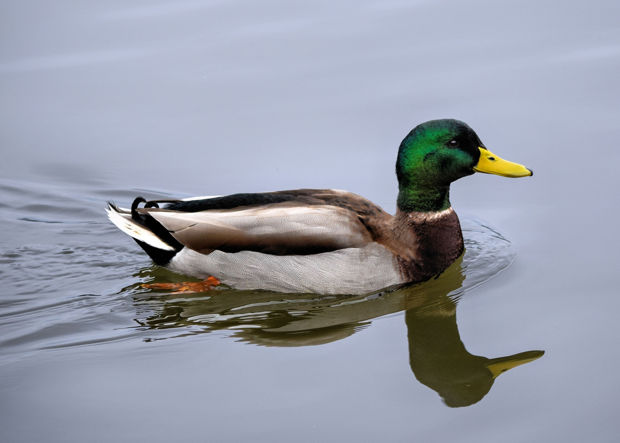Peaceful Swim - Male Mallard by myfavoritephotos