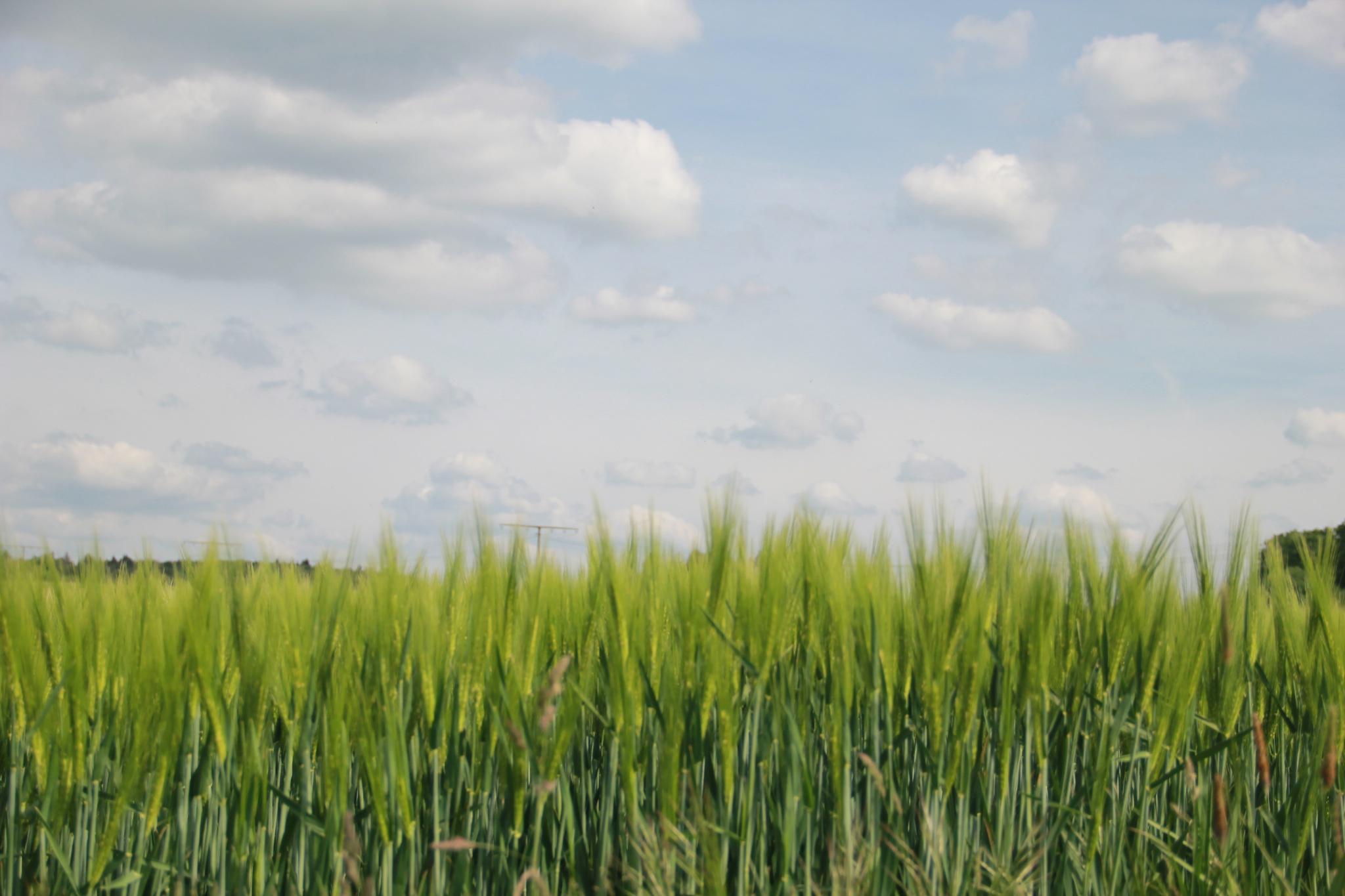 Barley by hamaro