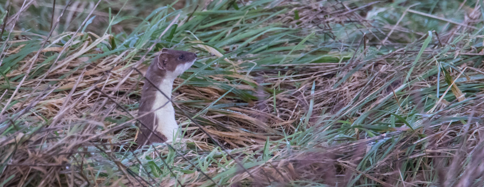 Mr stoat on the look out  by jameswardle2000
