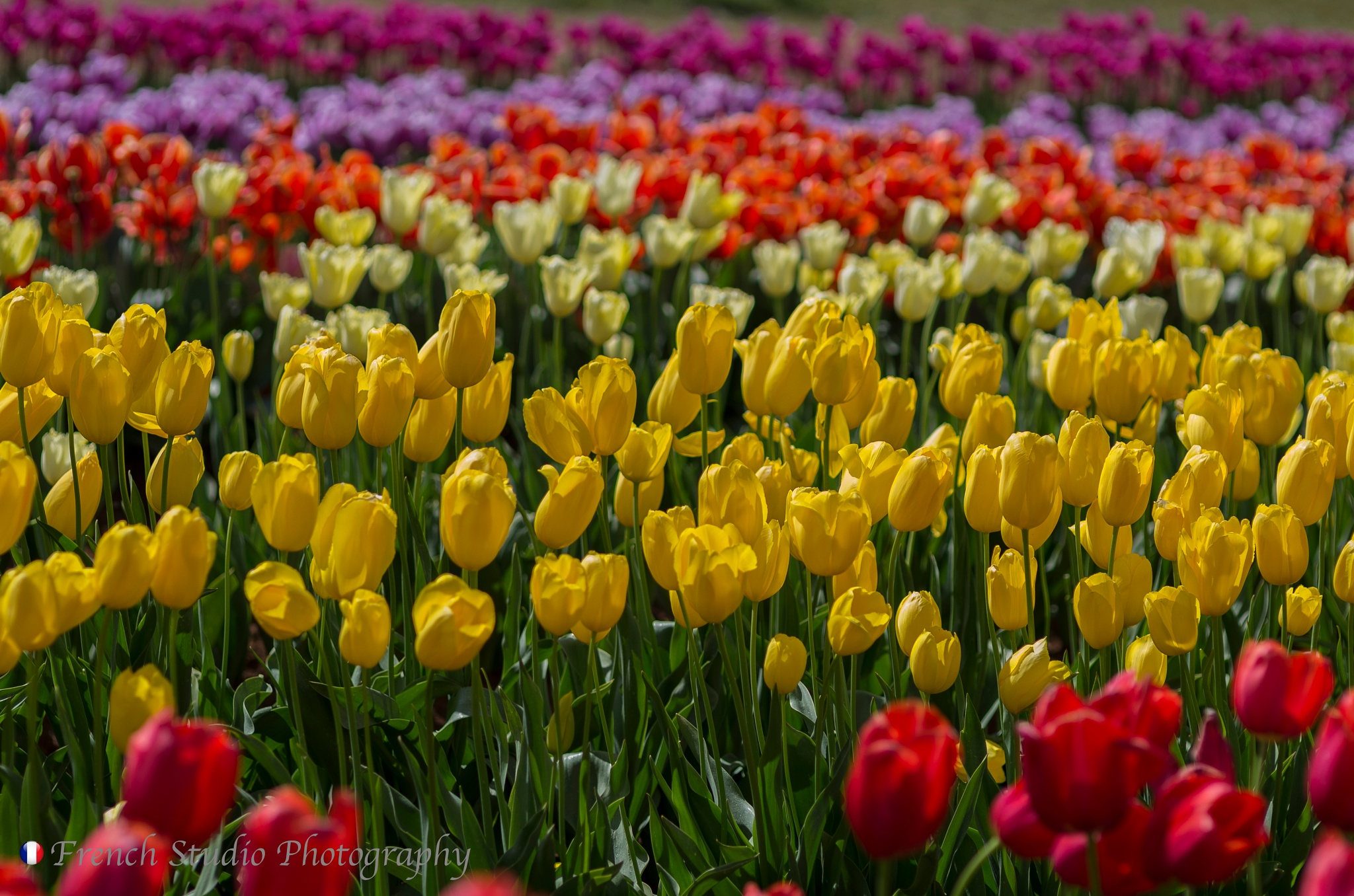 The yellow tulips by gerardrotse