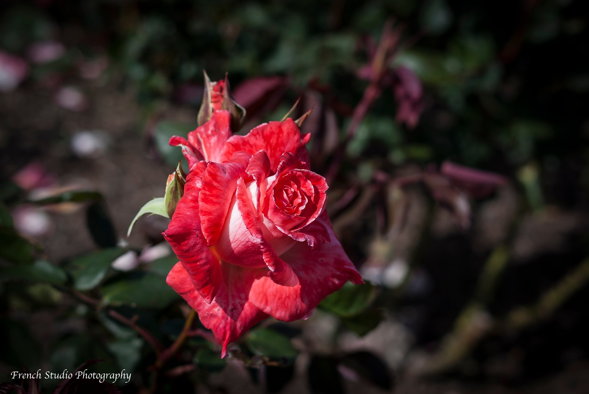 The rose by gerardrotse