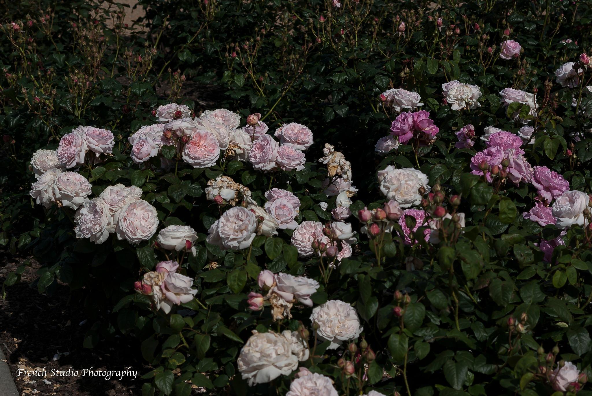 Rose garden by gerardrotse