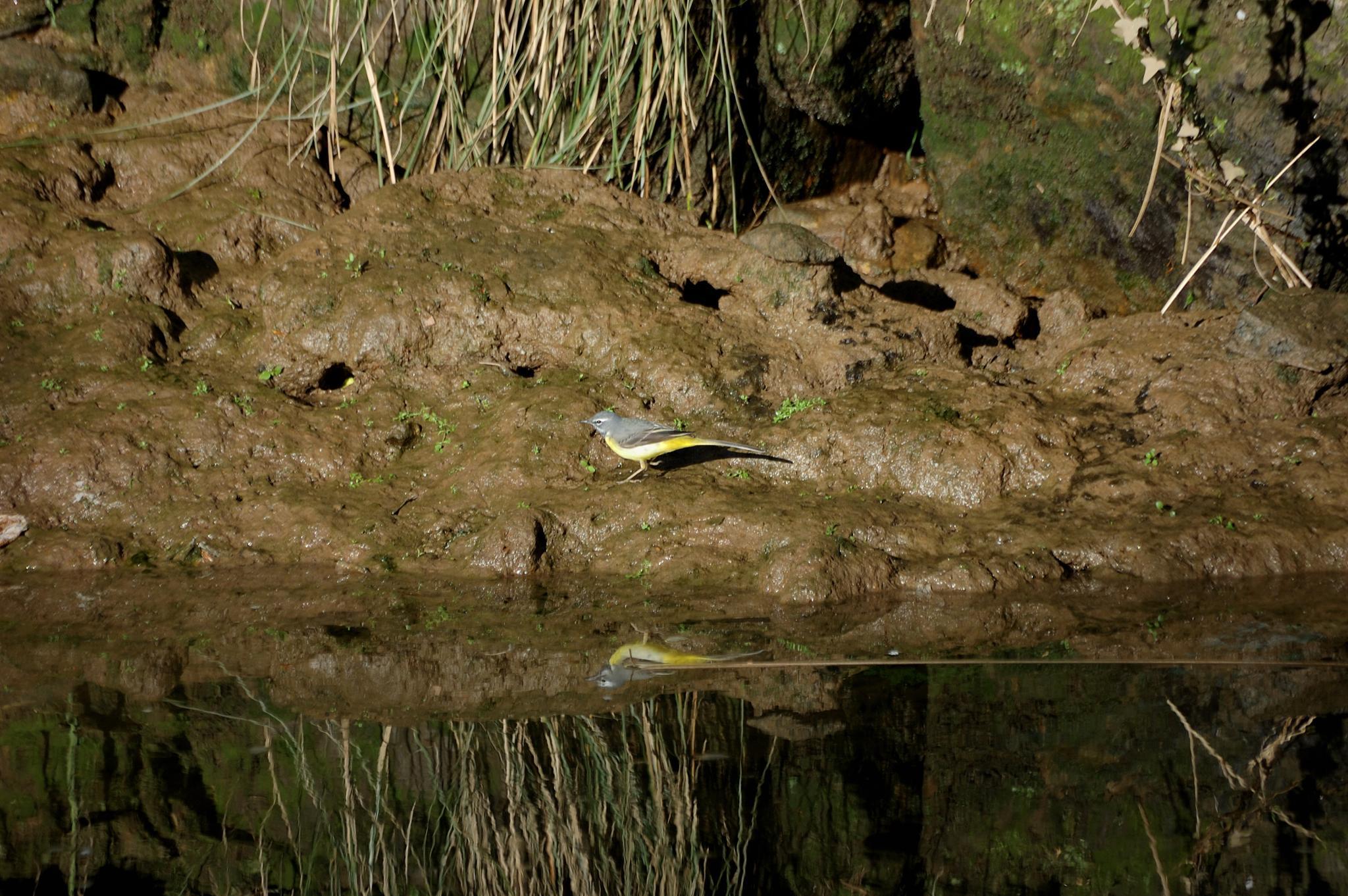 Yellow wagtail by João Almeida