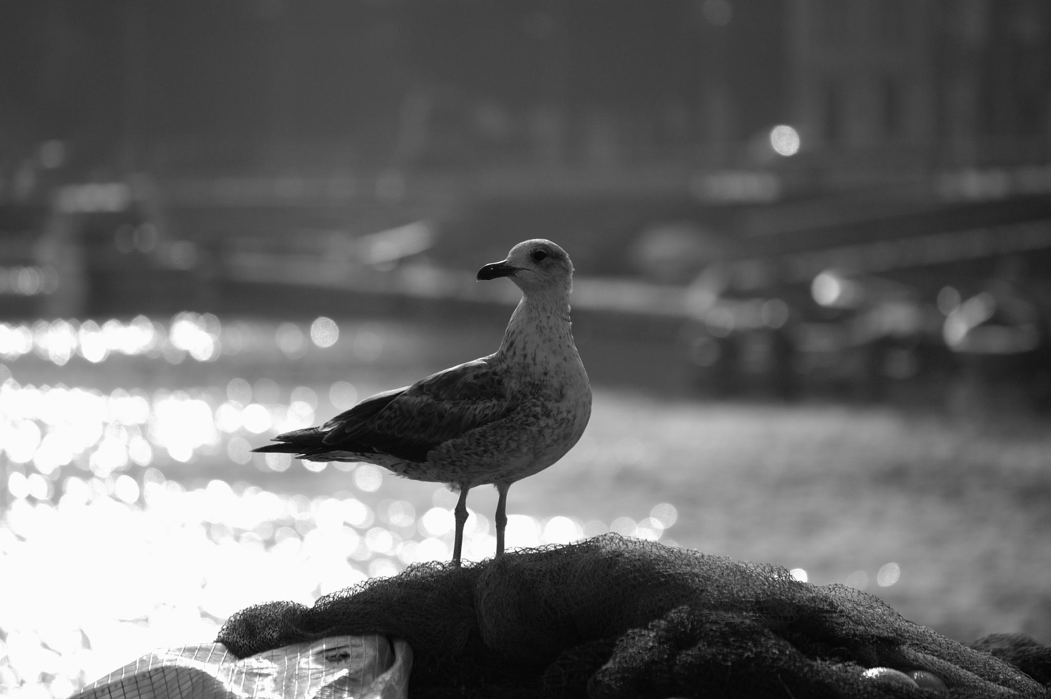 Seagull by João Almeida