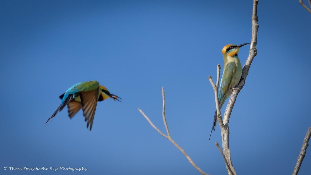 Rainbow Bee-Eaters by Sel Kerans