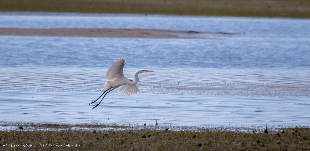 Great Egret by Sel Kerans