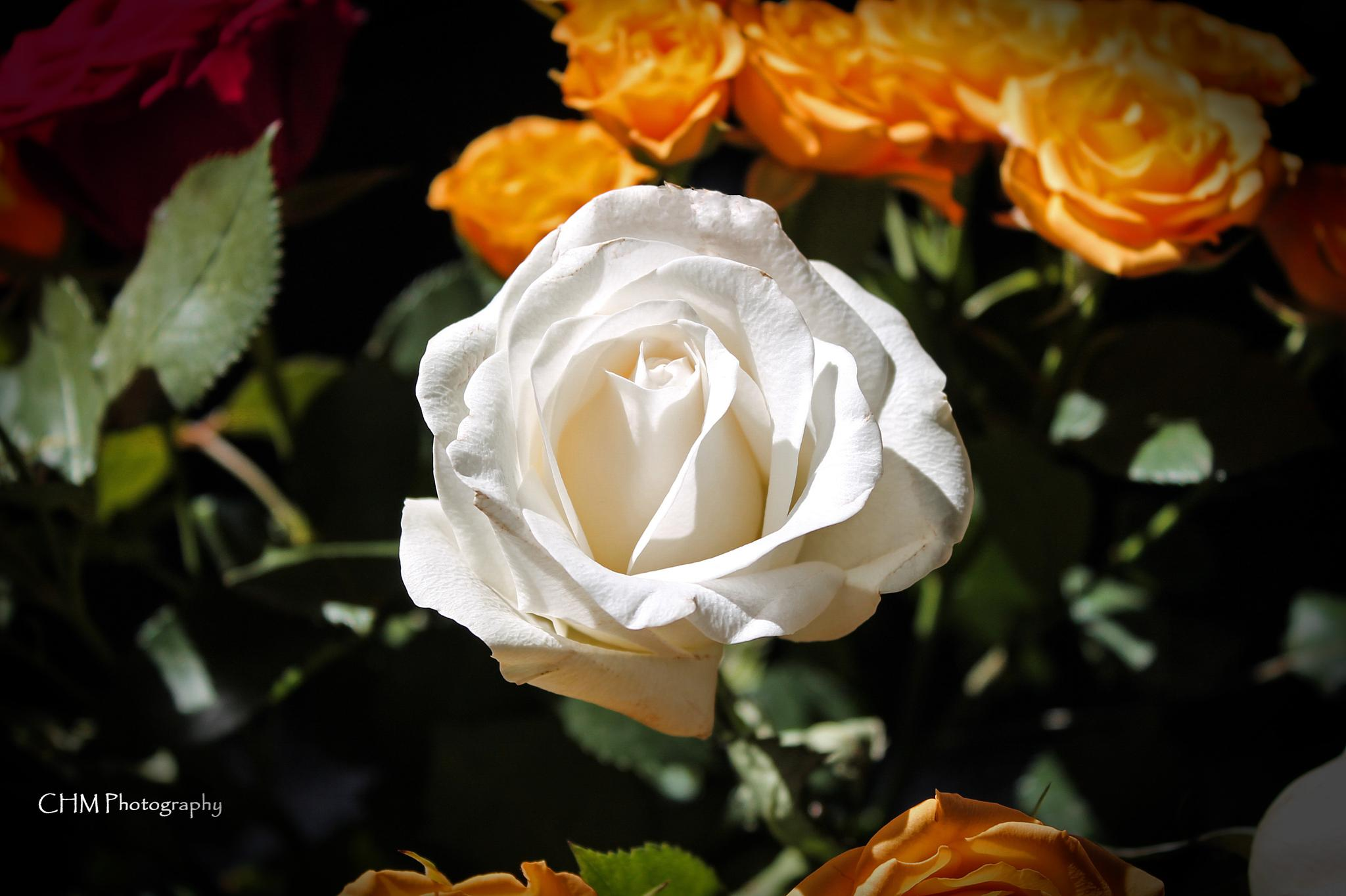 White Rose by Helen Robinson