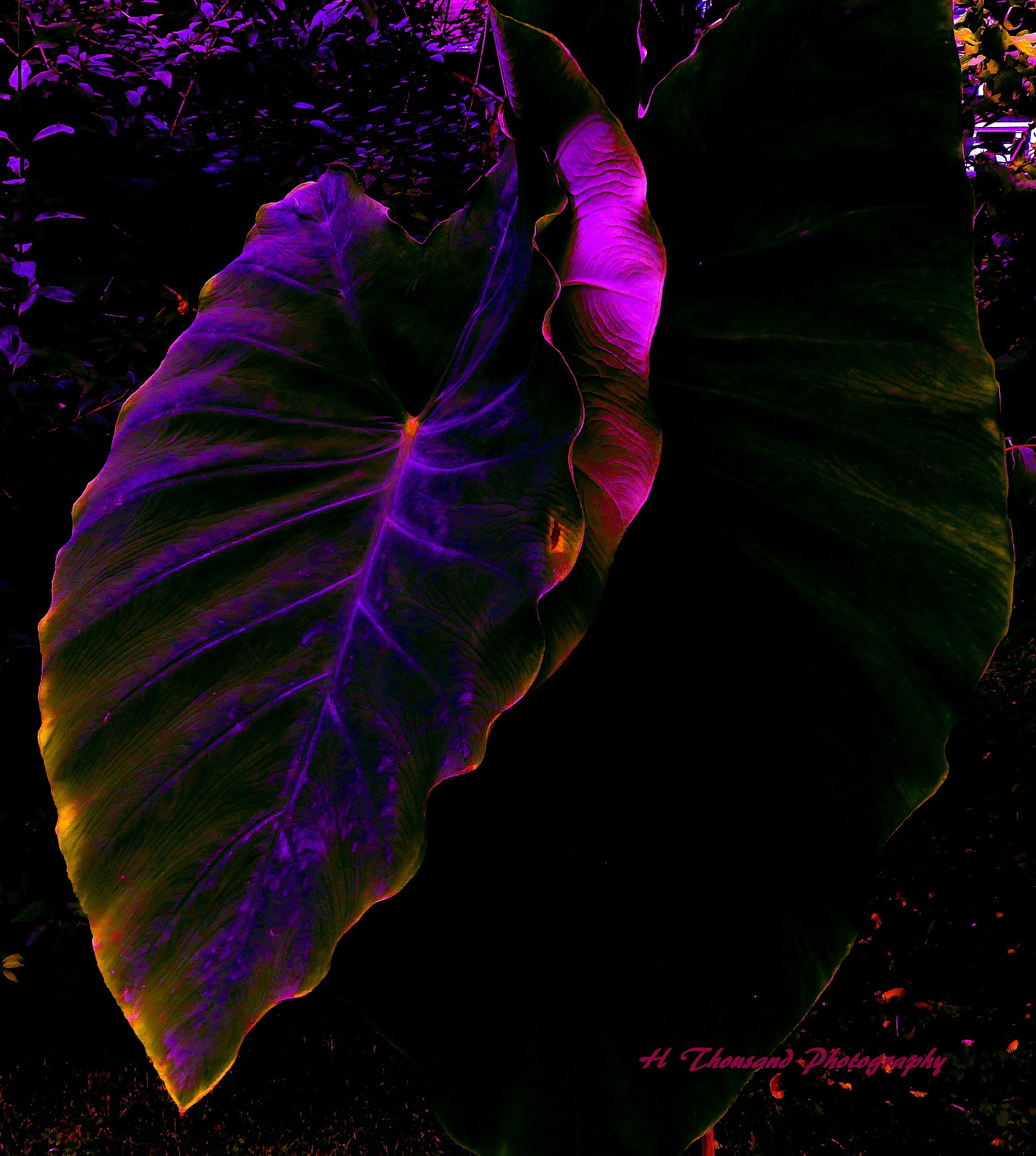 Elephant Ear Abstract by hrthousandjr