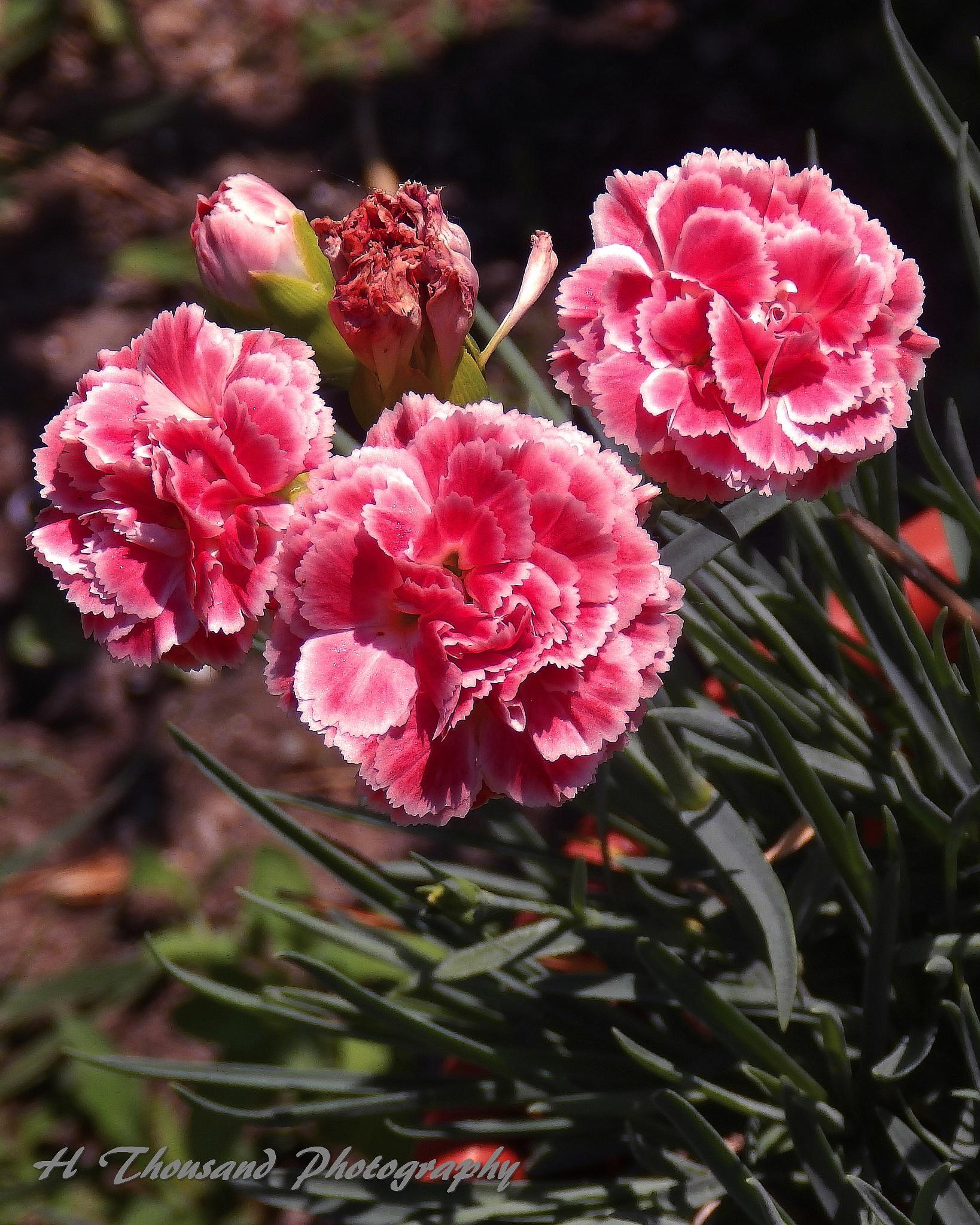 Carnations by hrthousandjr