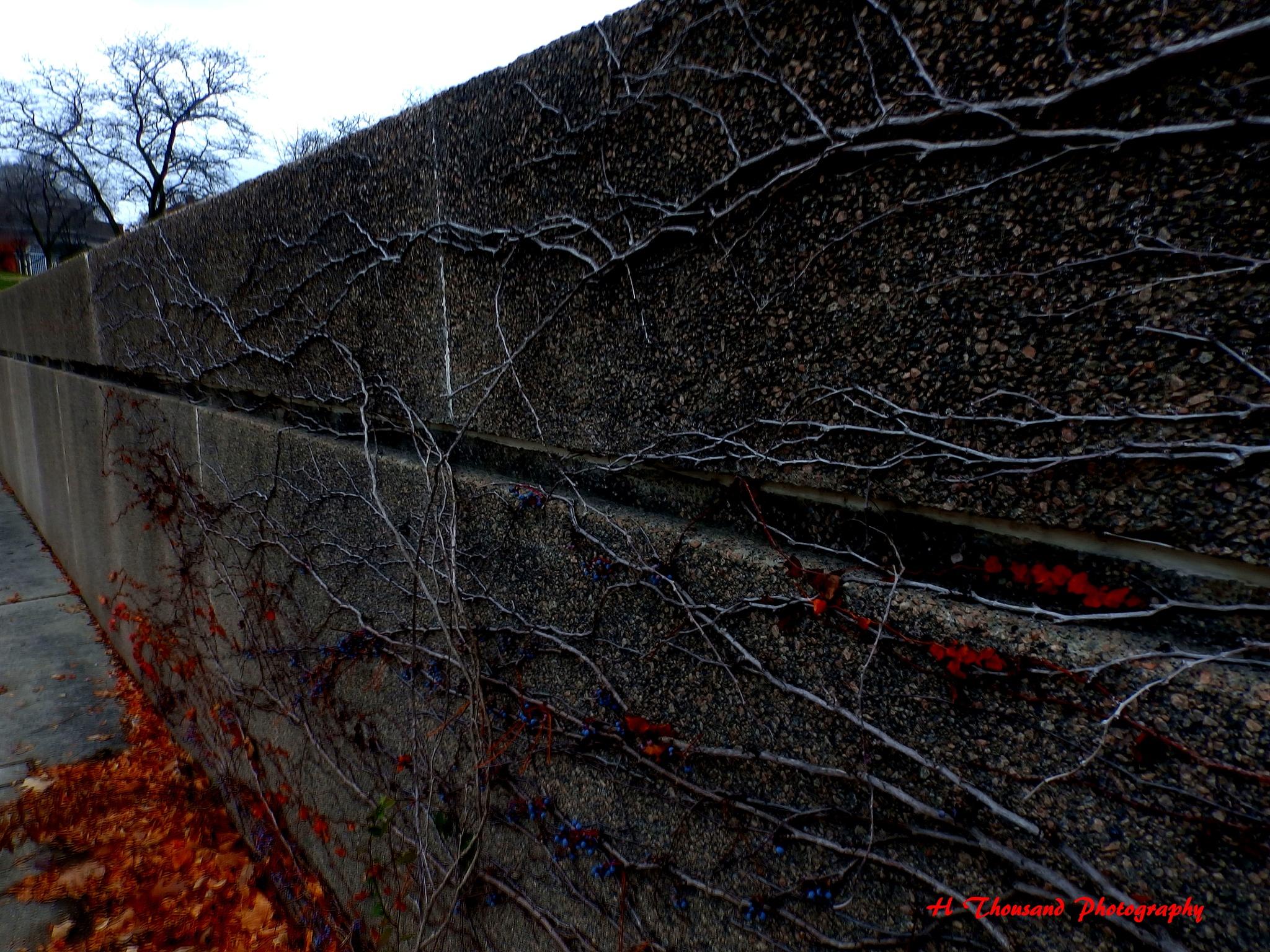 Creeping vine. by hrthousandjr