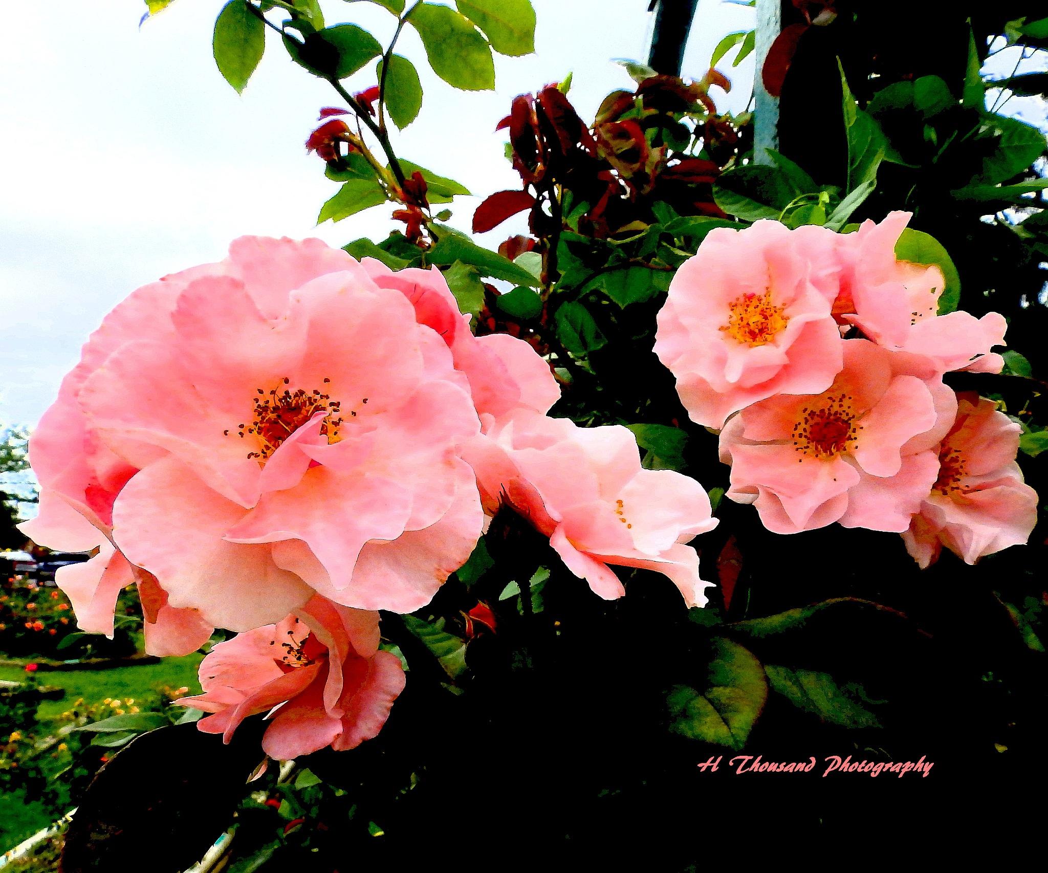 Pink Climber-12-TP by hrthousandjr