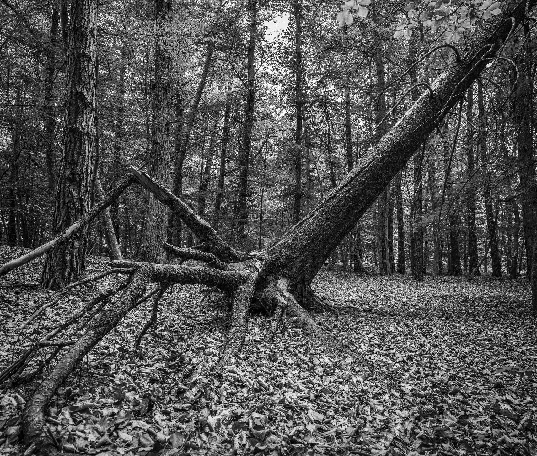 fallen tree by hutchst