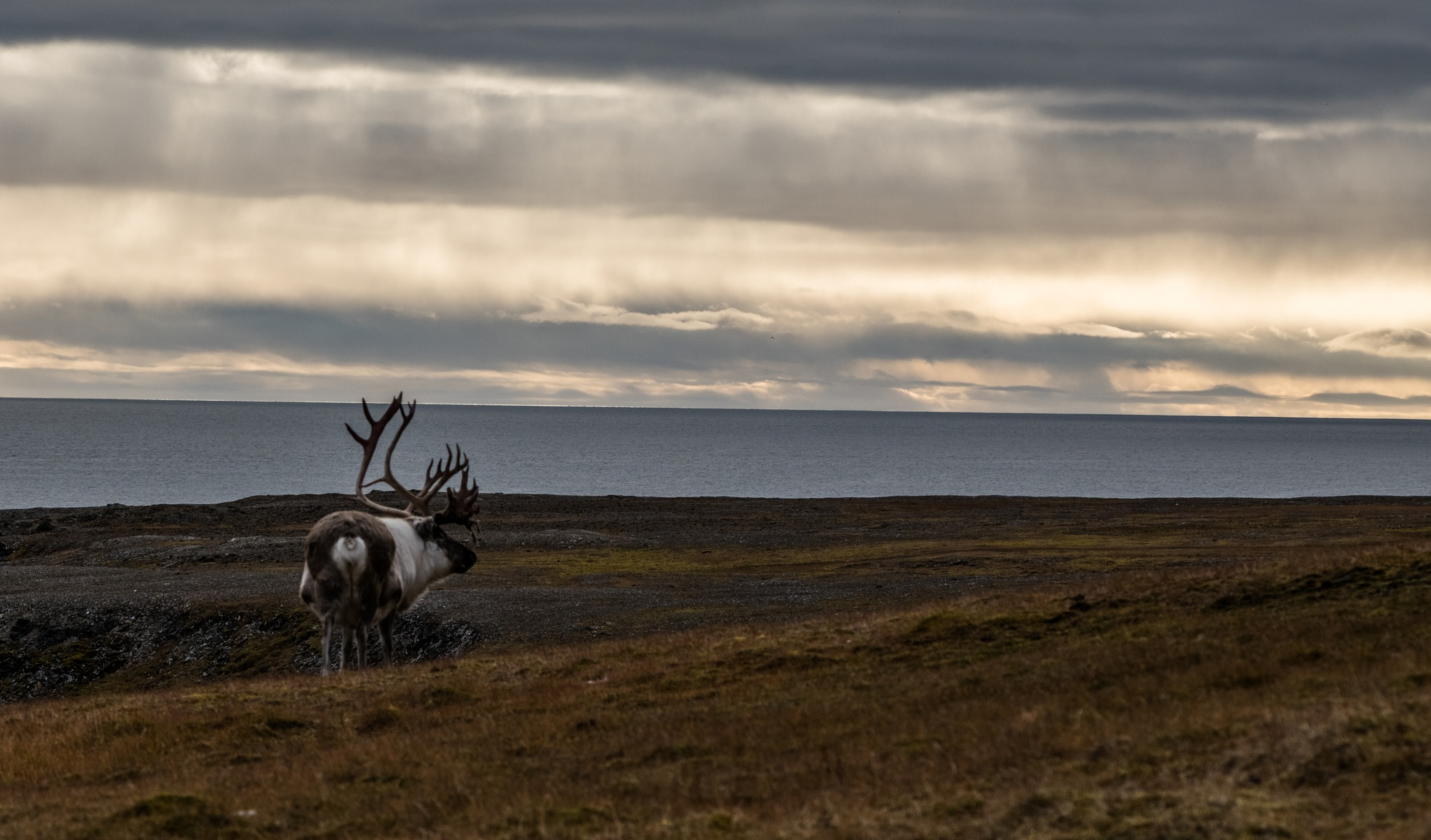 reindeer on the horizon by hutchst