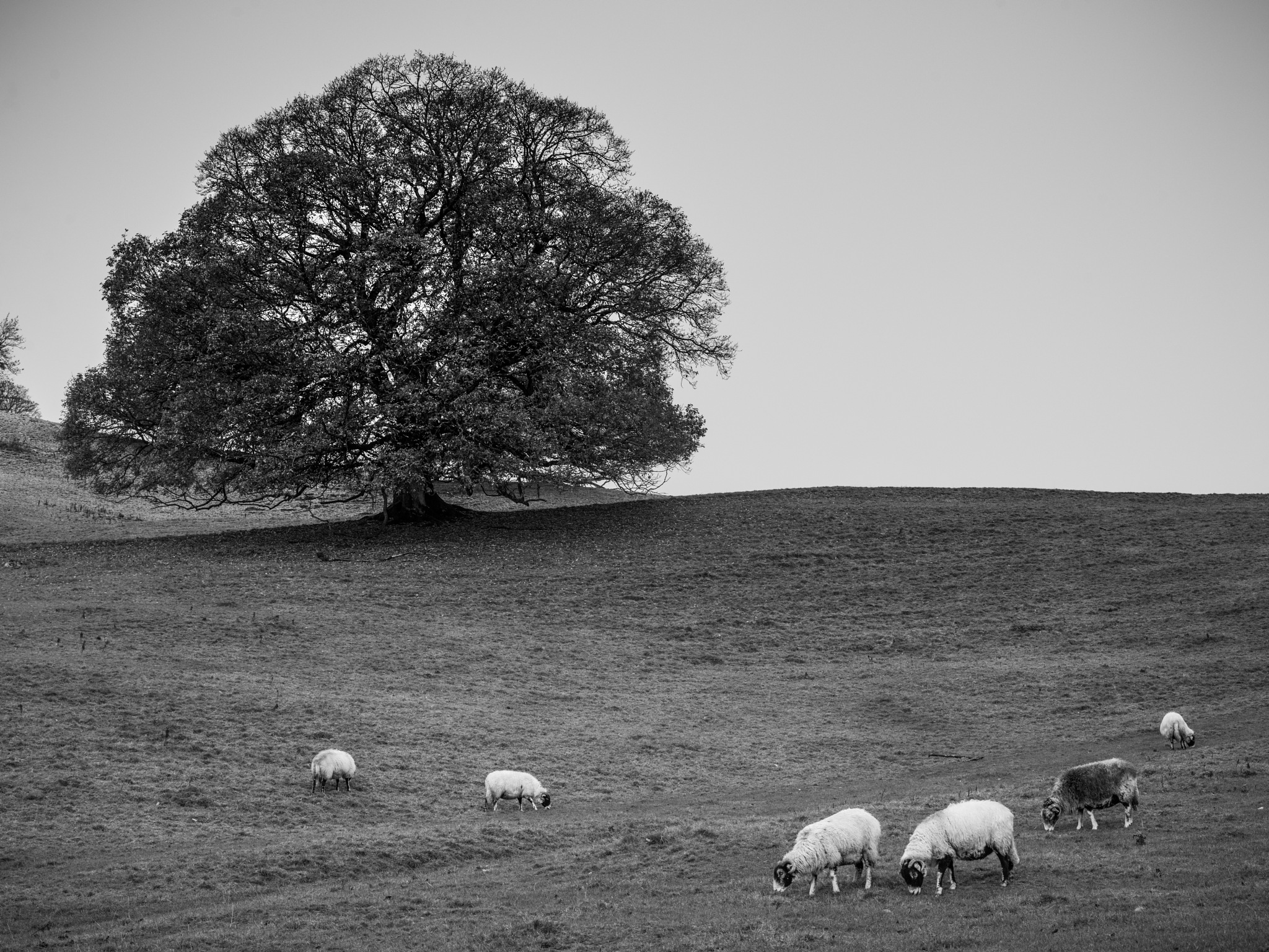 lake district sheep by hutchst