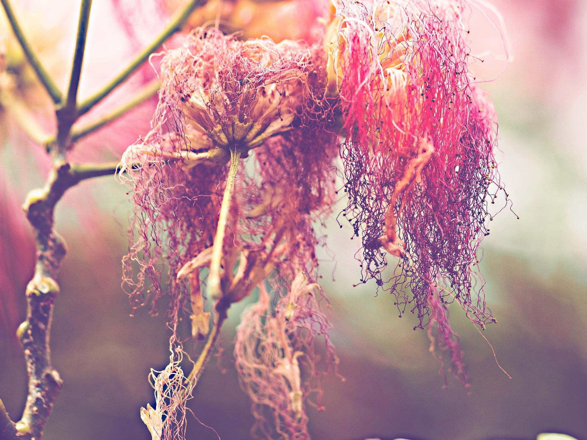 acacia flowers by alain michel