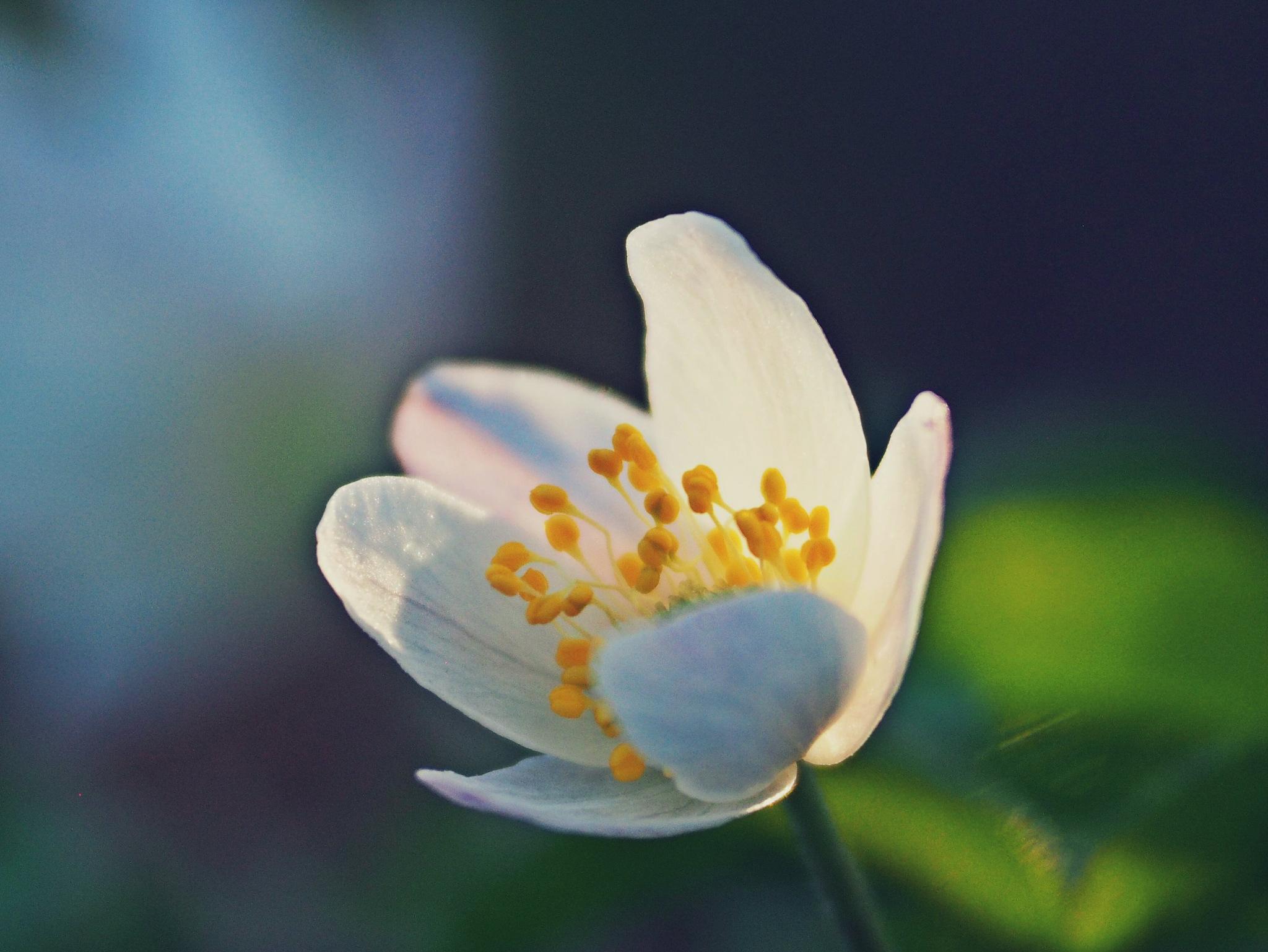 wild anemone  by alain michel