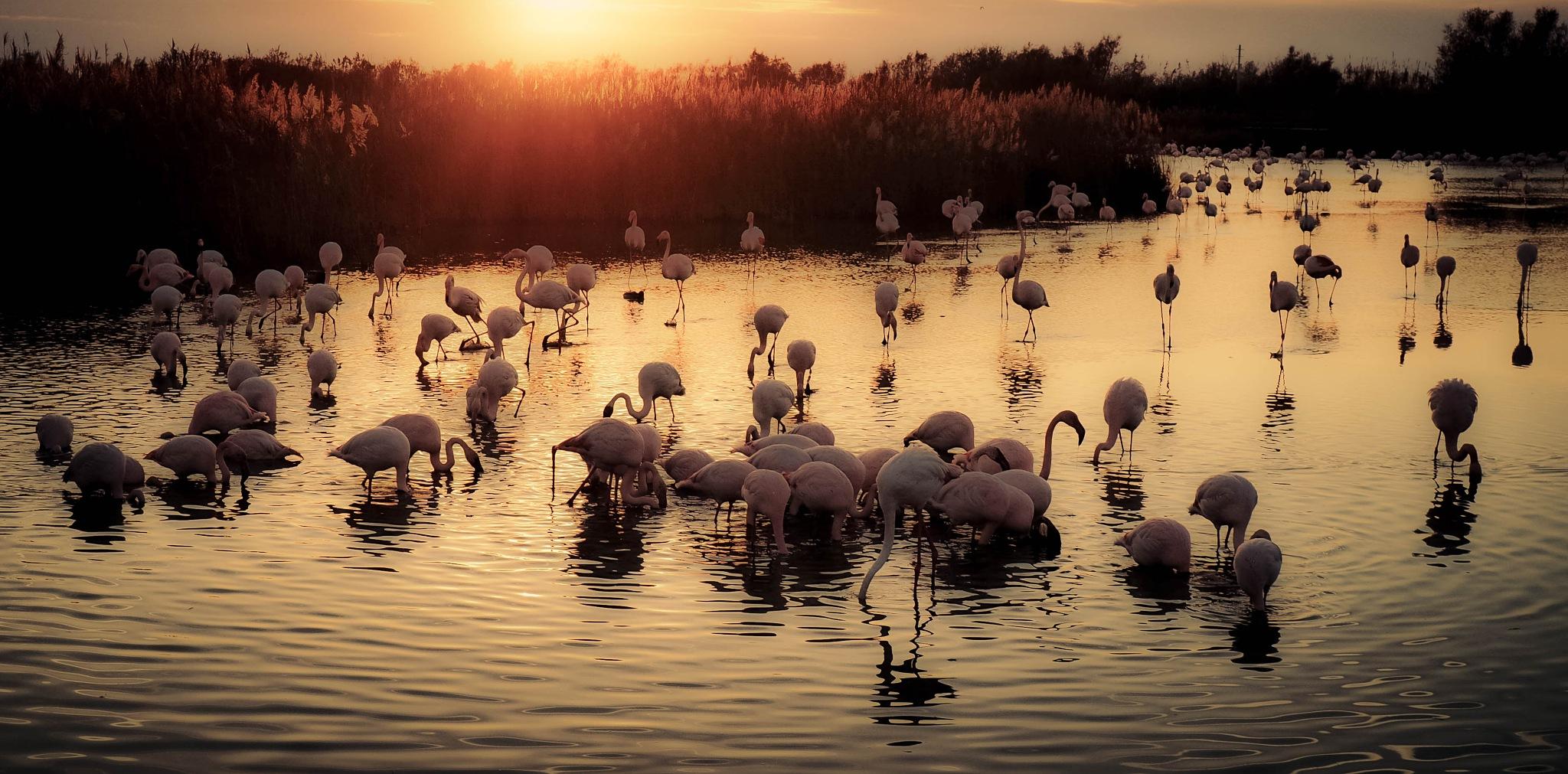 flamingos by alain michel