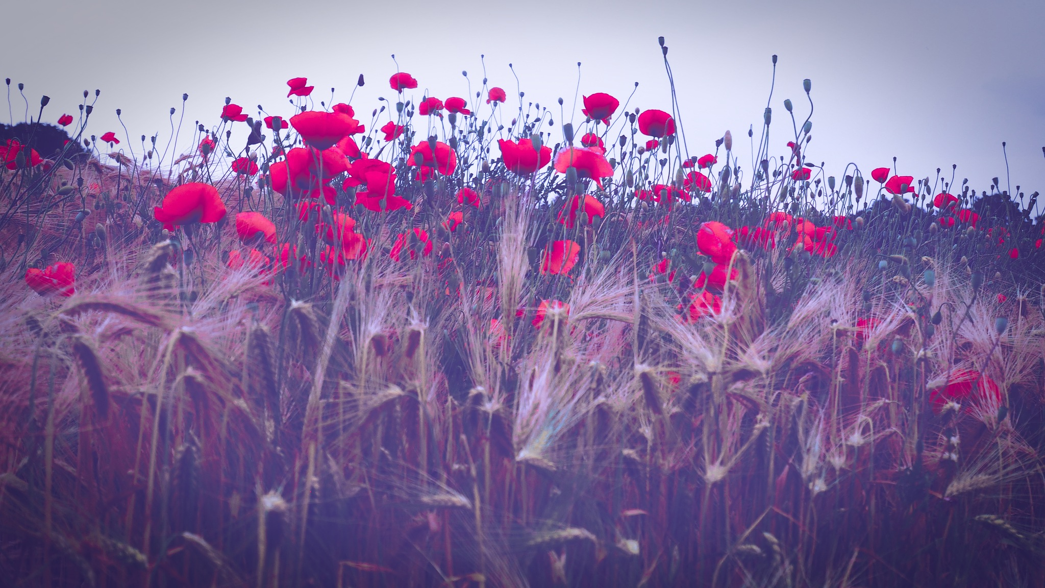 poppies meeting  by alain michel