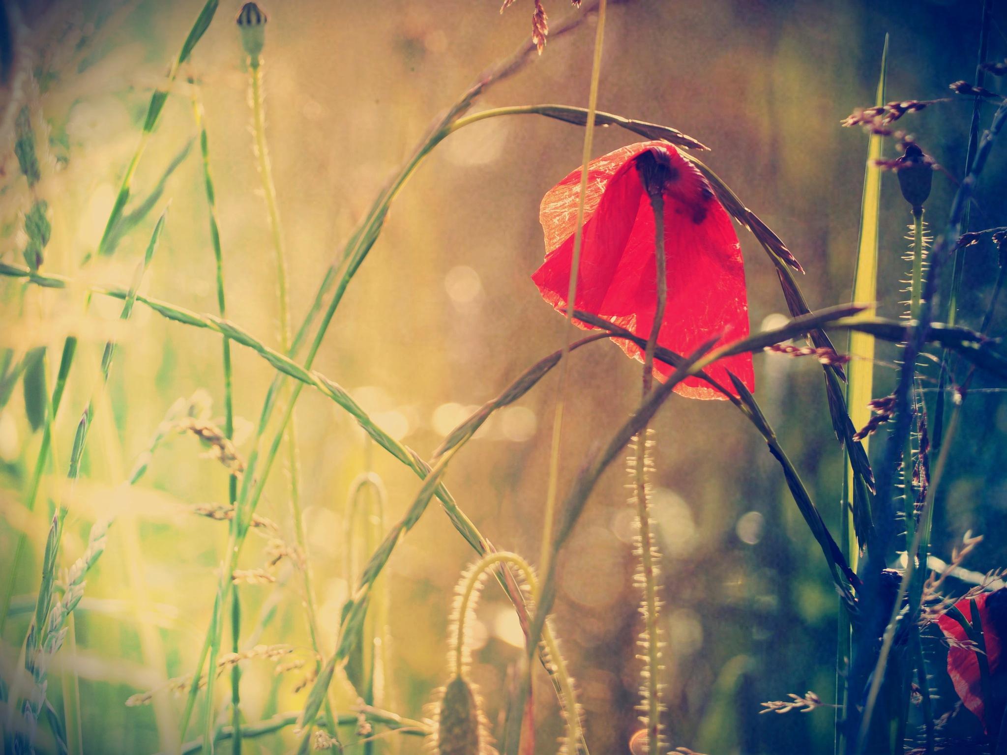 poppy by alain michel