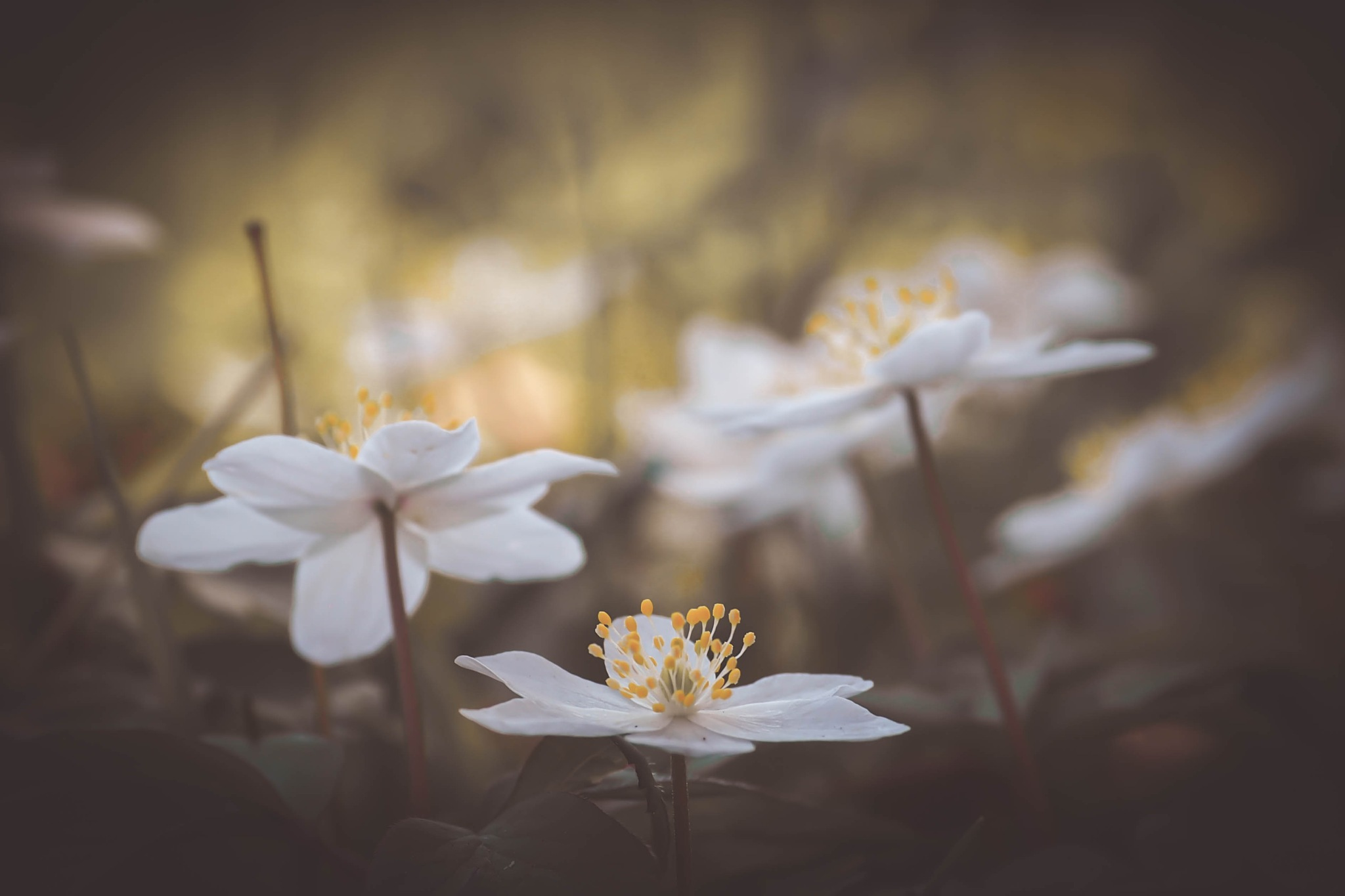 anemones by alain michel