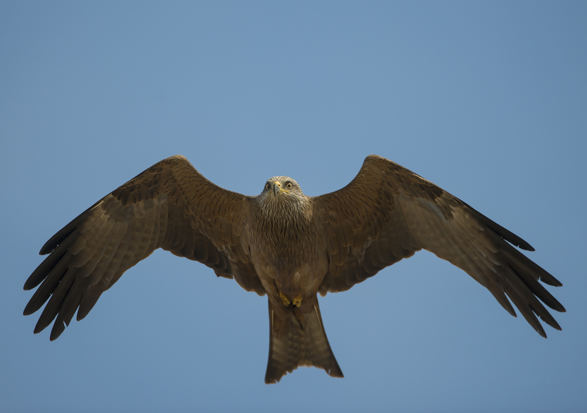 Black Kite on the move by Clive Finlayson