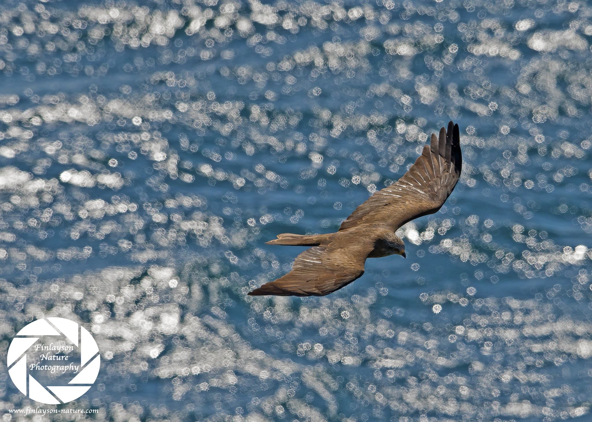 Bird Migration in action: Black Kite struggling over the waves by Clive Finlayson