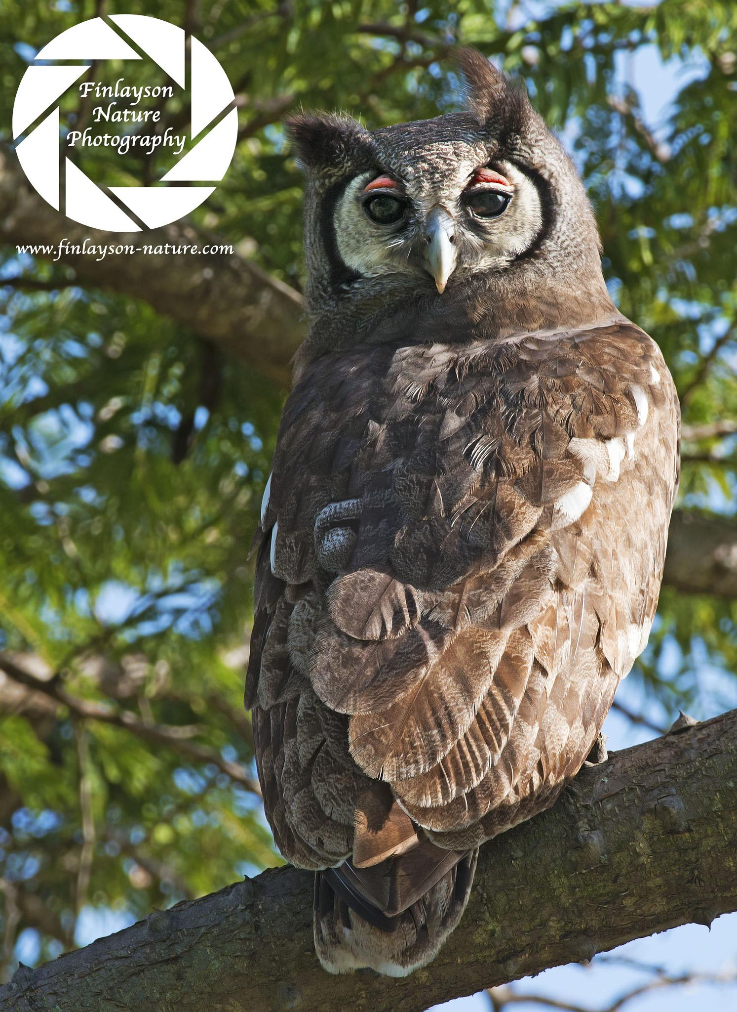 Africa's giant owl by Clive Finlayson