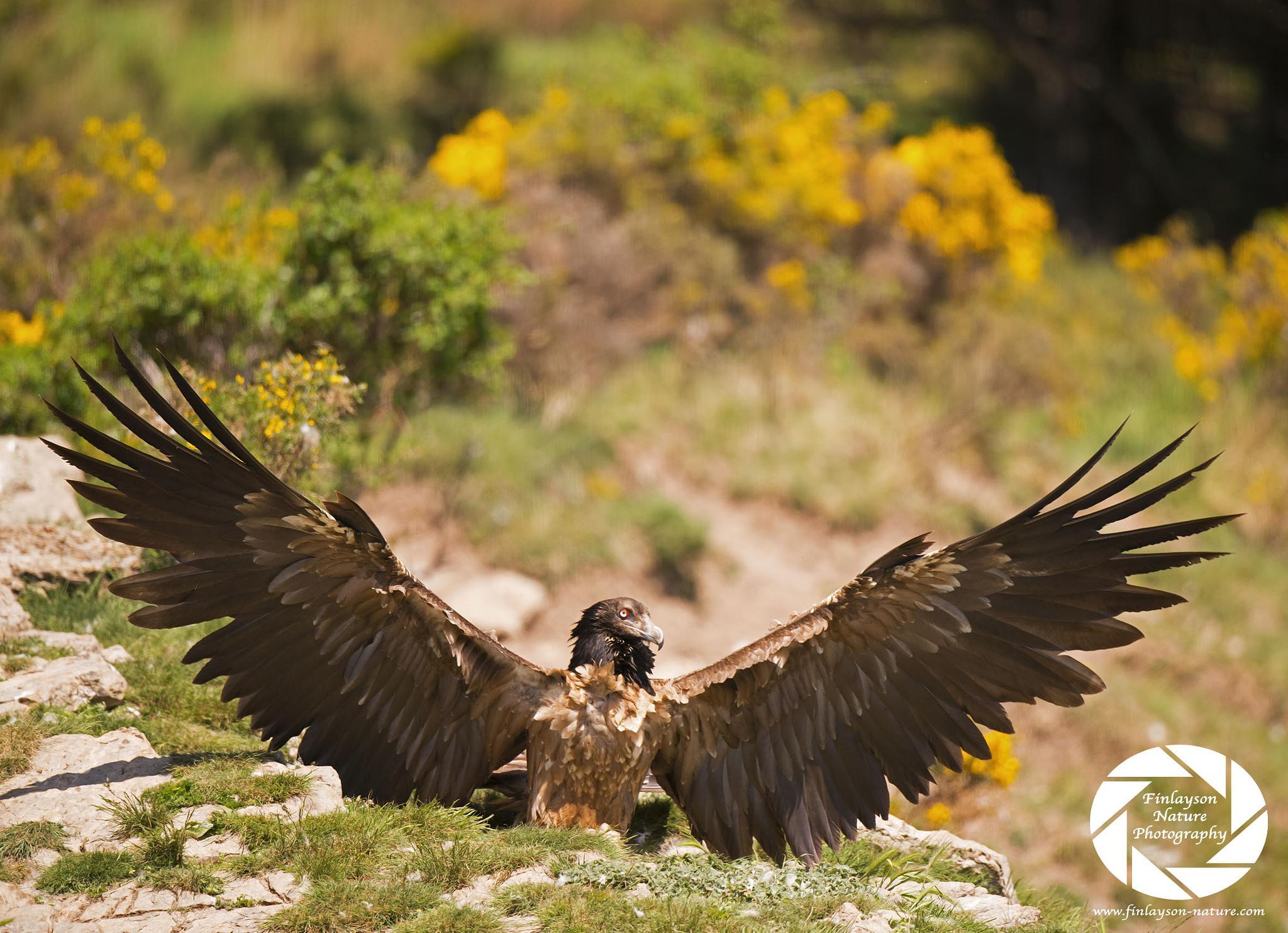 Photo in Nature #birds #nature #animals #natural history #wildlife #birds of prey #raptors #vultures