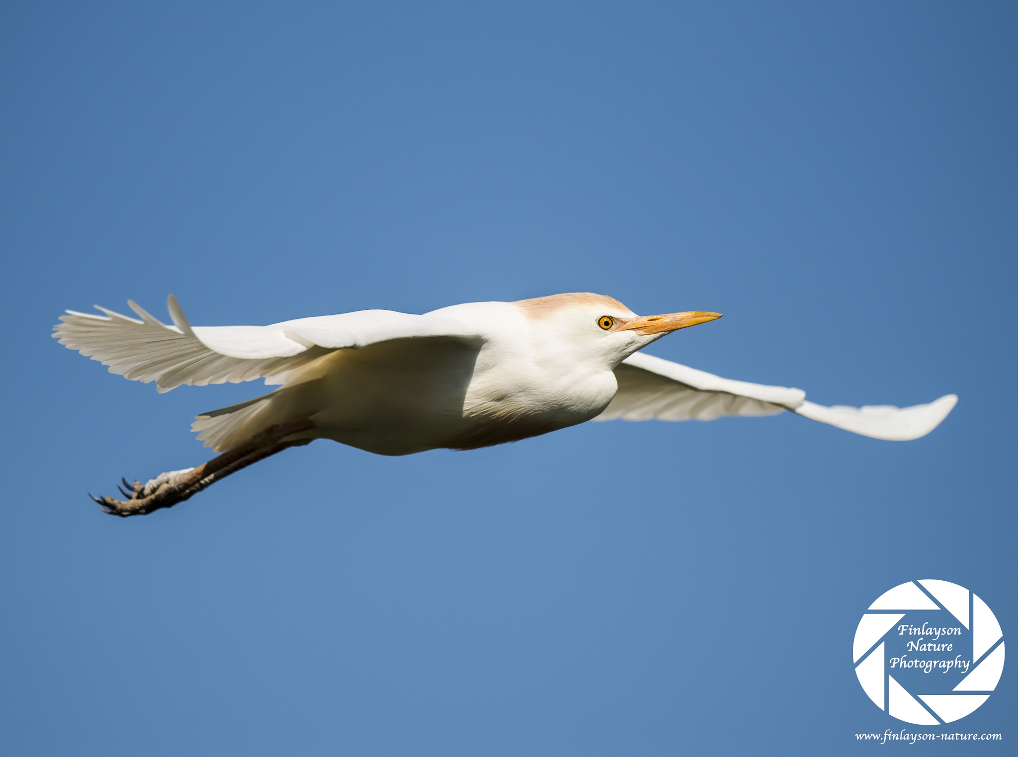 Cattle Egret in flight by Clive Finlayson
