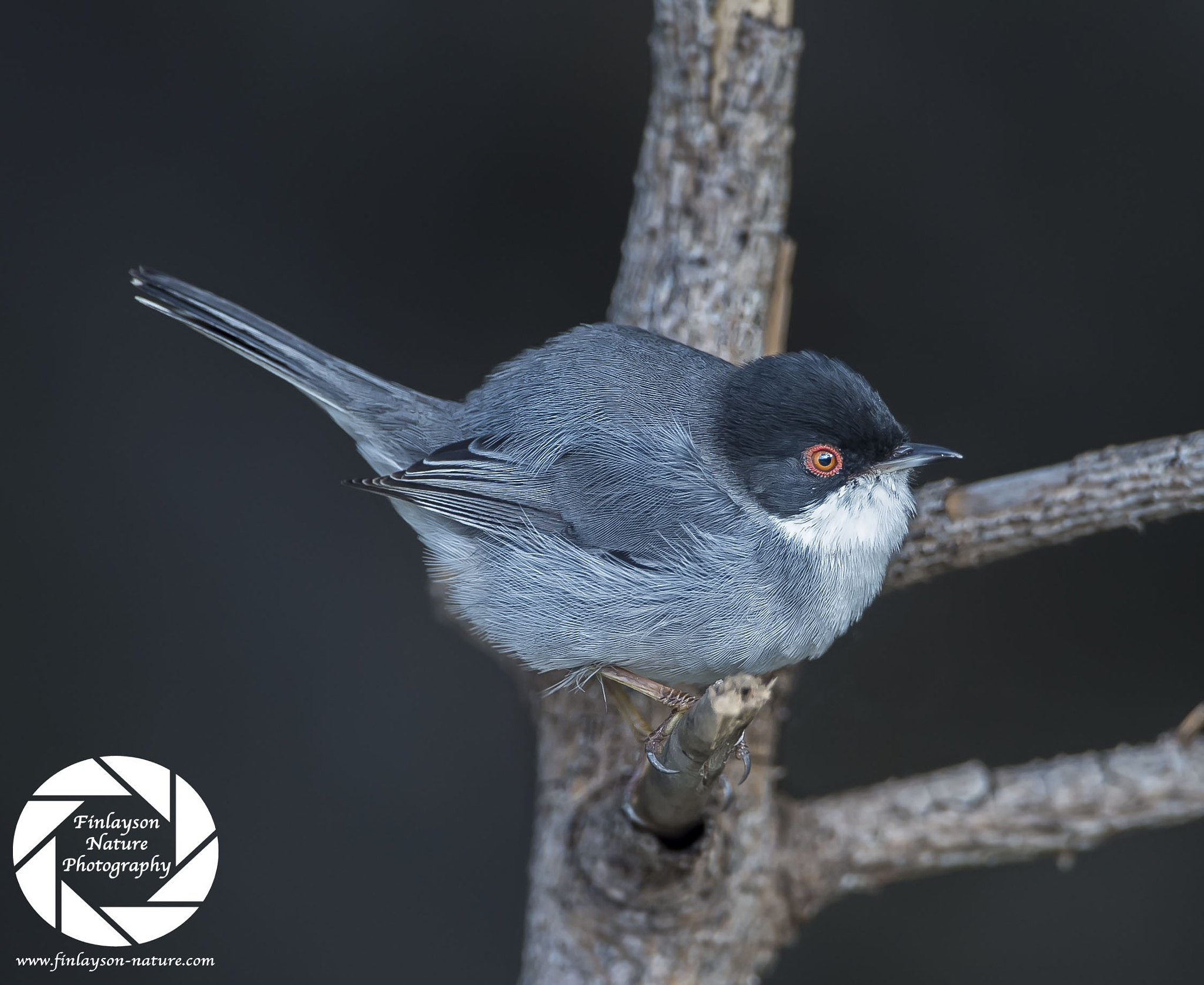 Male Sardinian Warbler by Clive Finlayson