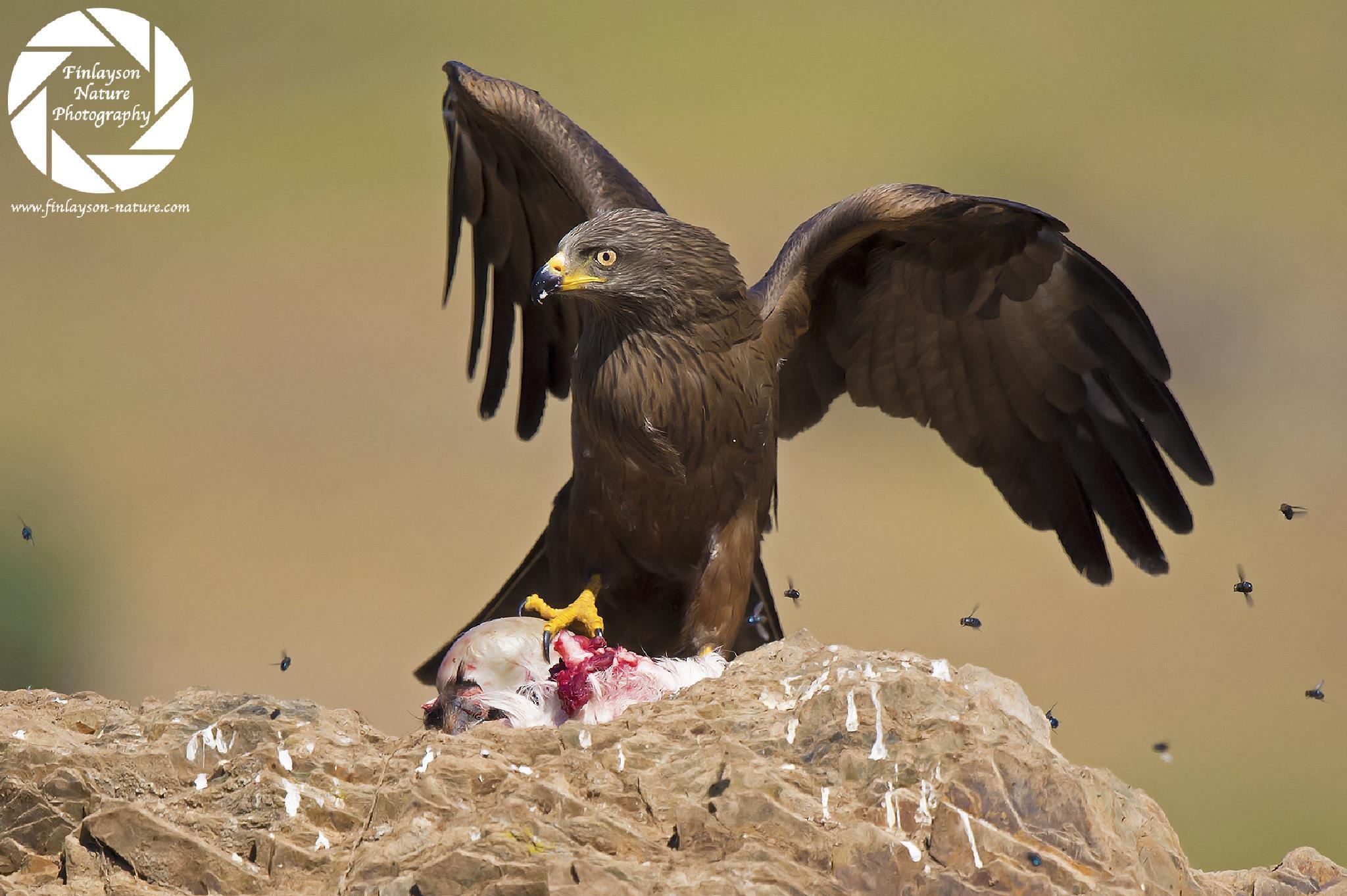 Black Kite (Milvus migrans) by Stewart Finlayson
