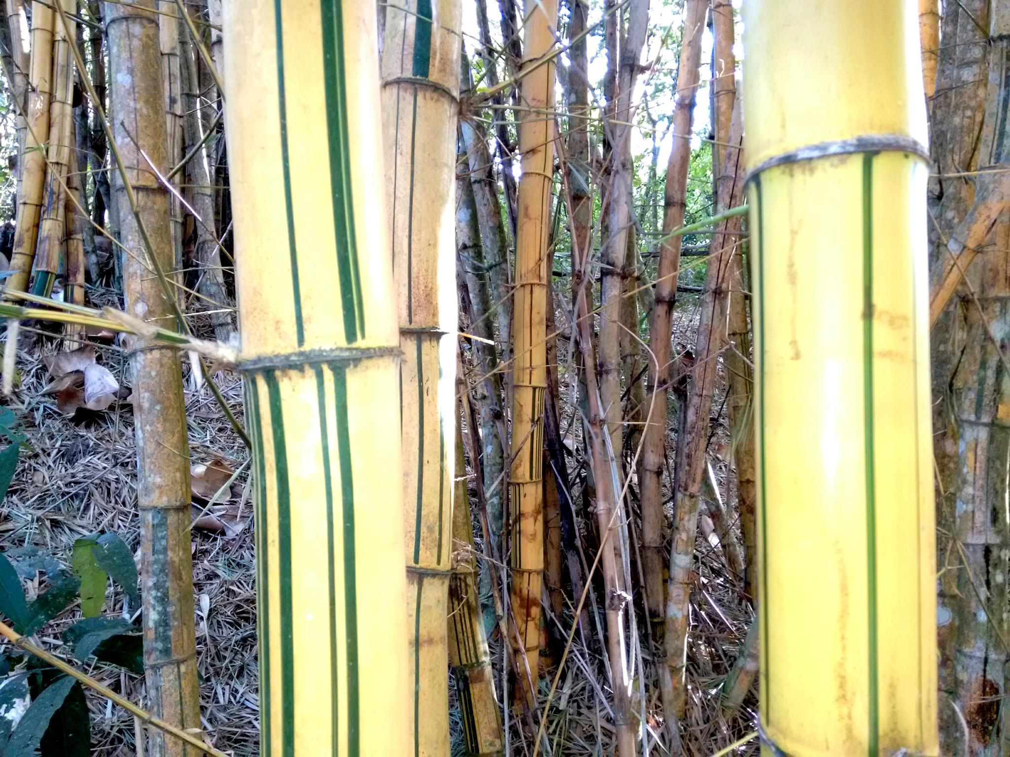 Bambus by Nélson