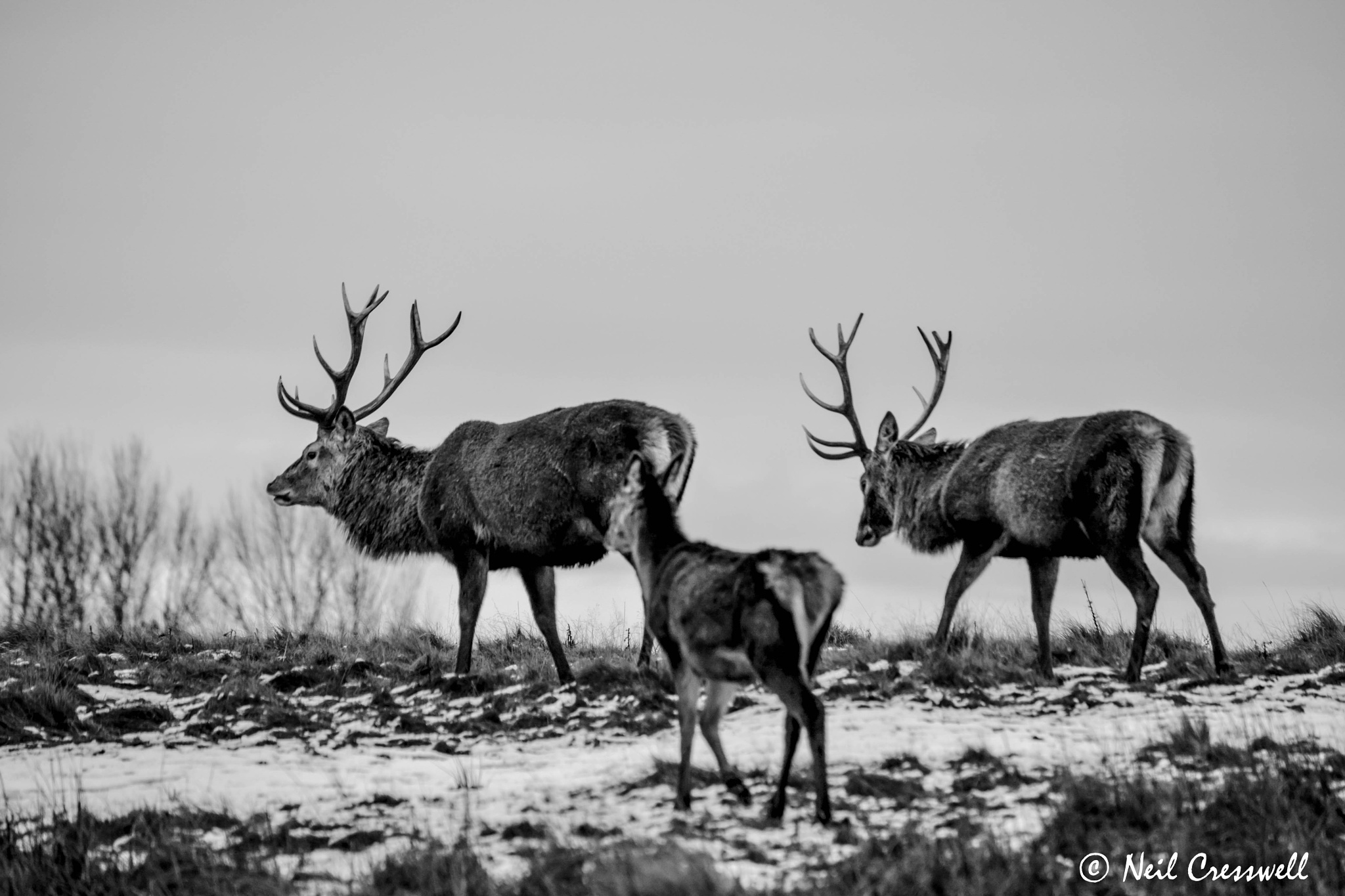 Stag's on patrol by Neil Cresswell