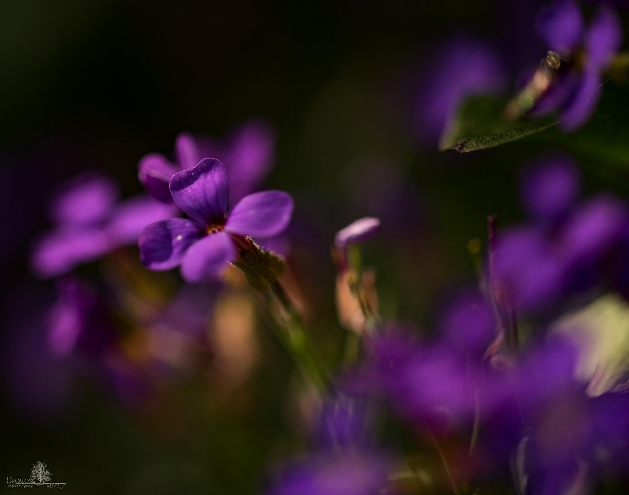 purple by lindans