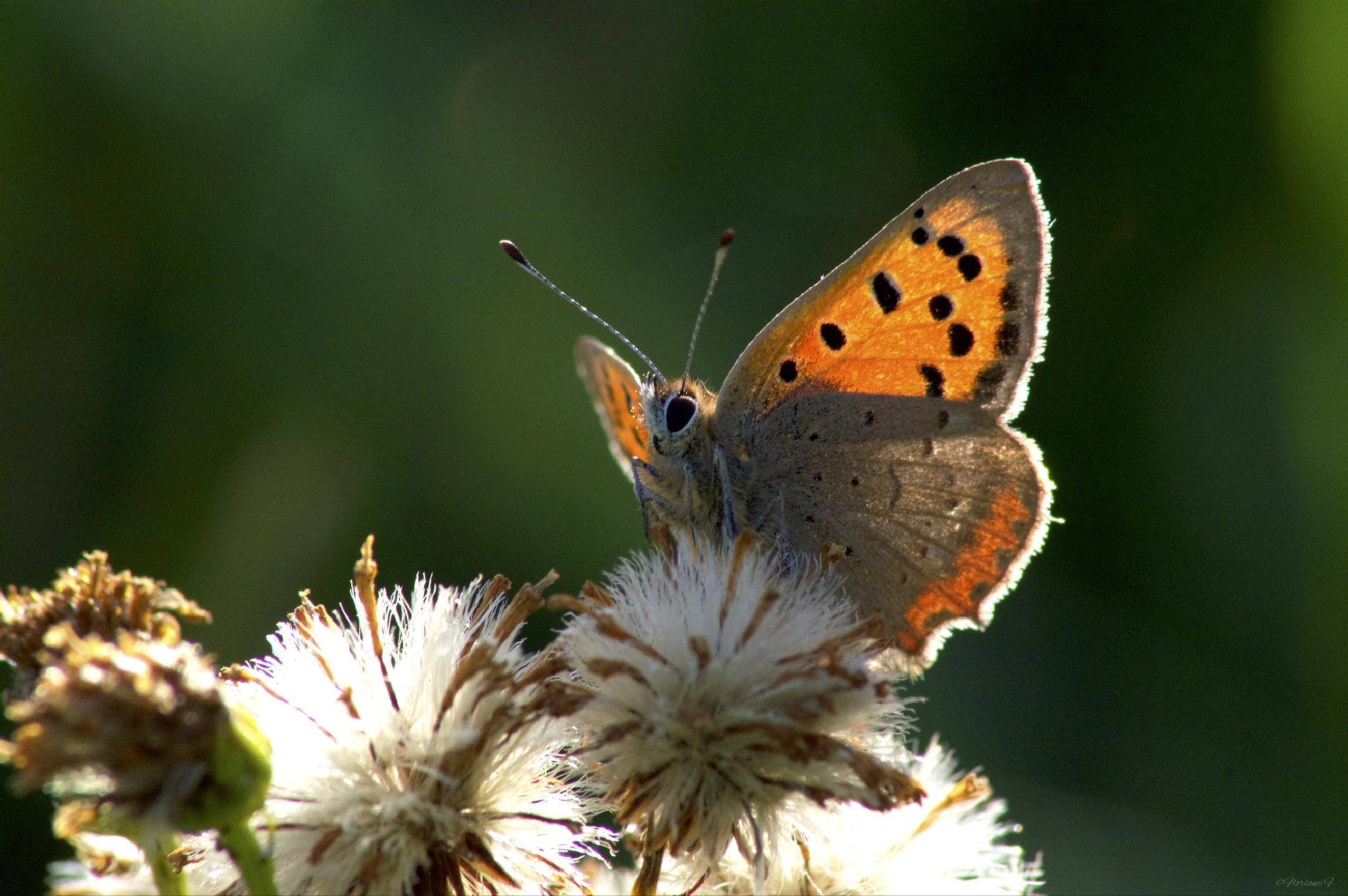Papillon d'automne by Floriane F. Photos
