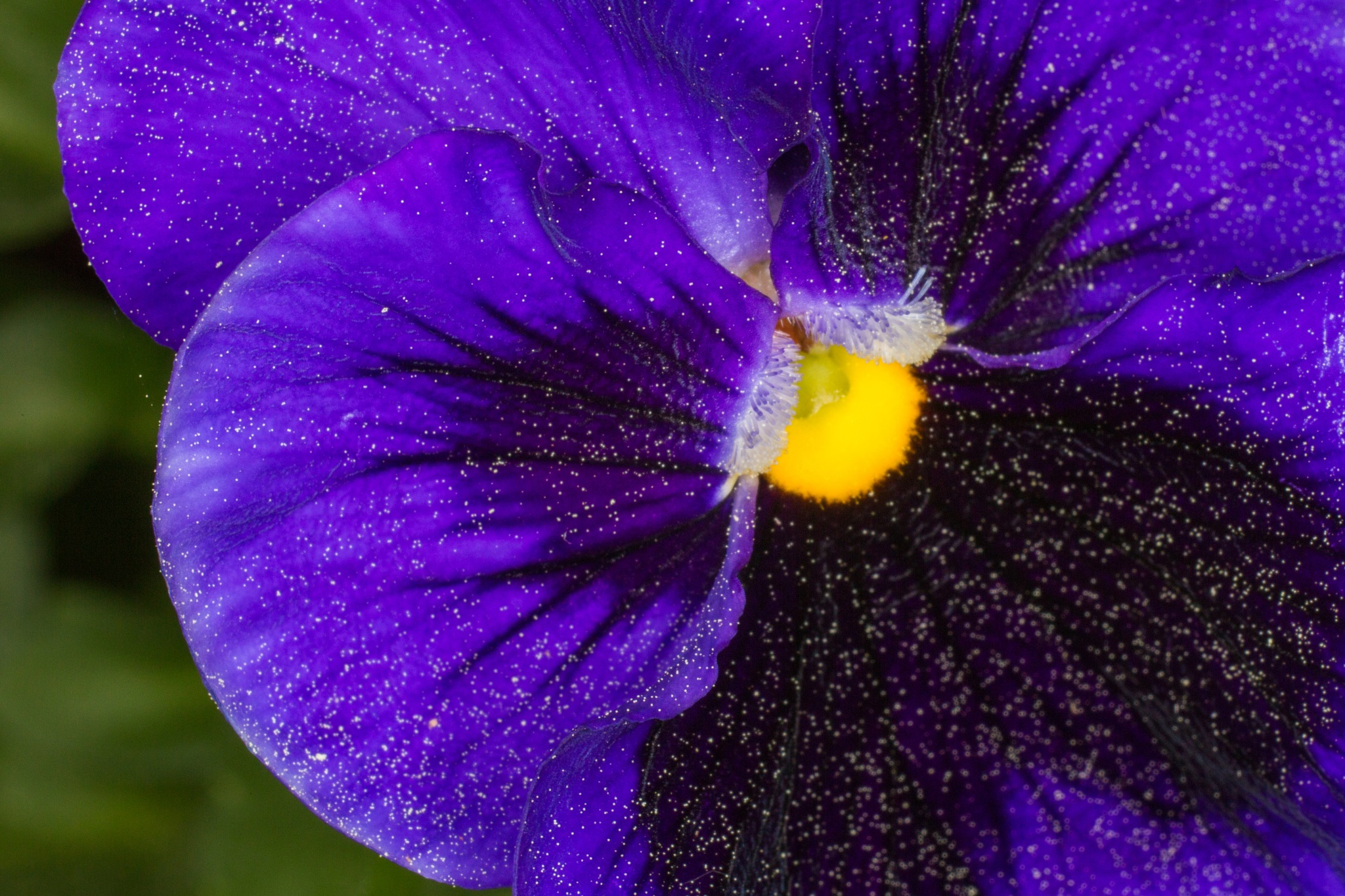 Purple Pansy Up Close by david_middleton