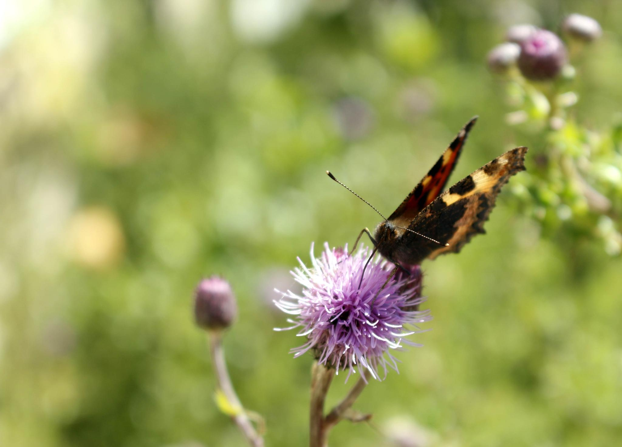 Butterfly - Thistle  by Chris Davison