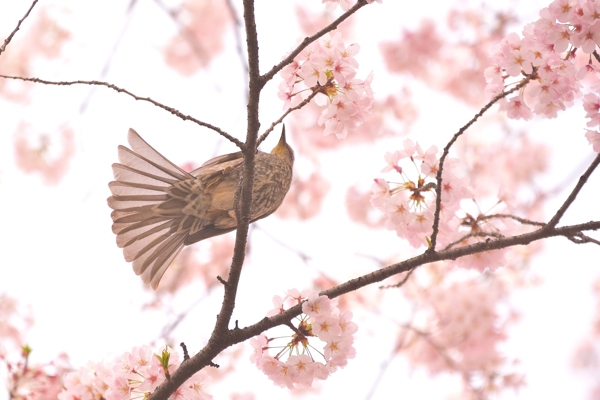 Sakura and the Bird by Y. Takei