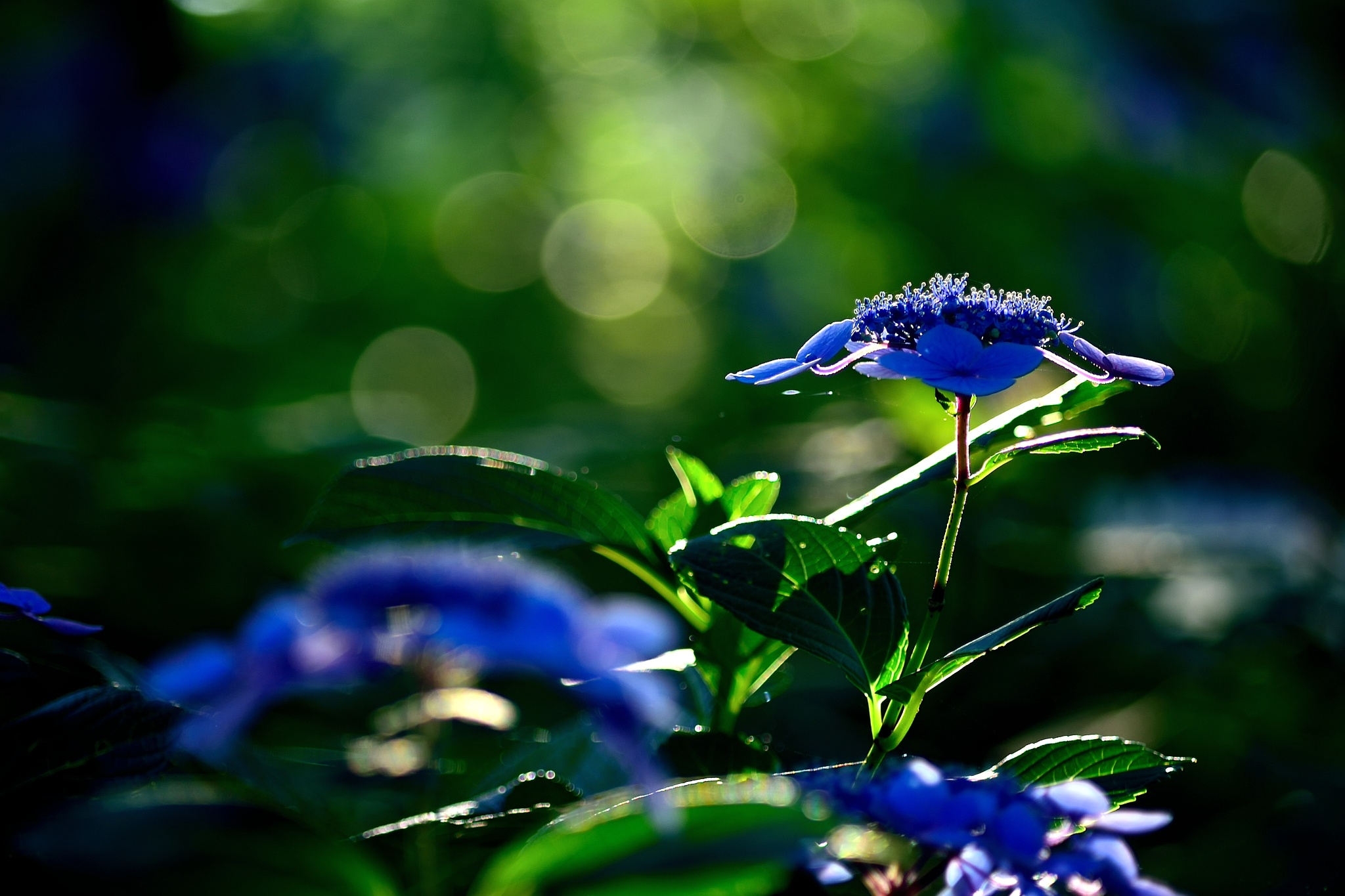 Lacecap Hydrangea  by Y. Takei