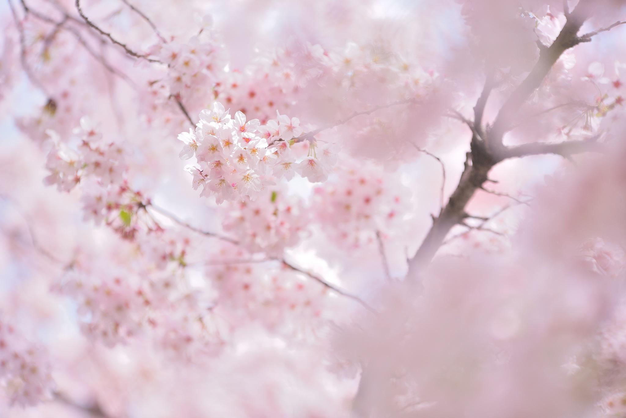 SAKURA by Y. Takei