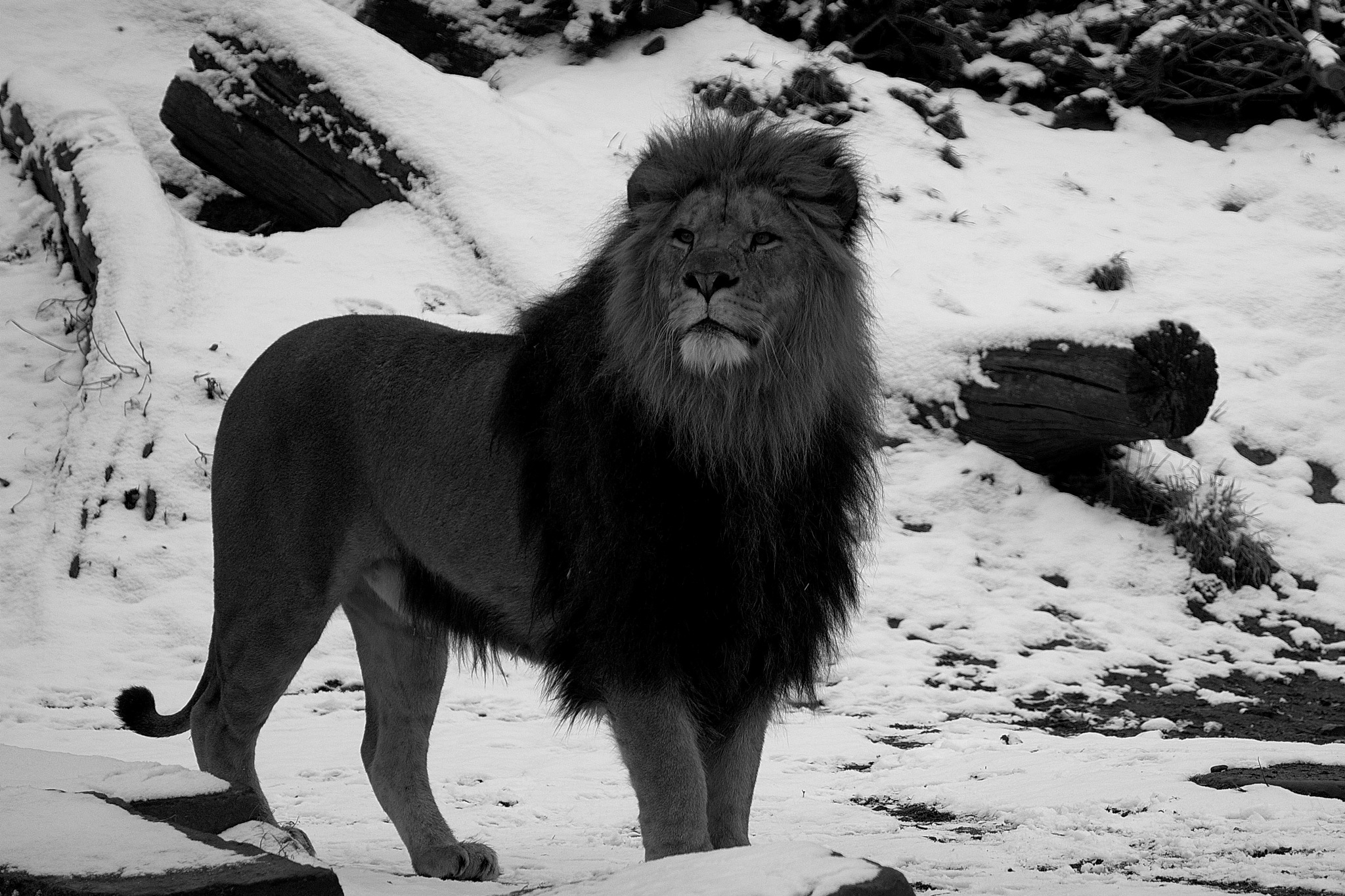 Lion b&w by Mogens