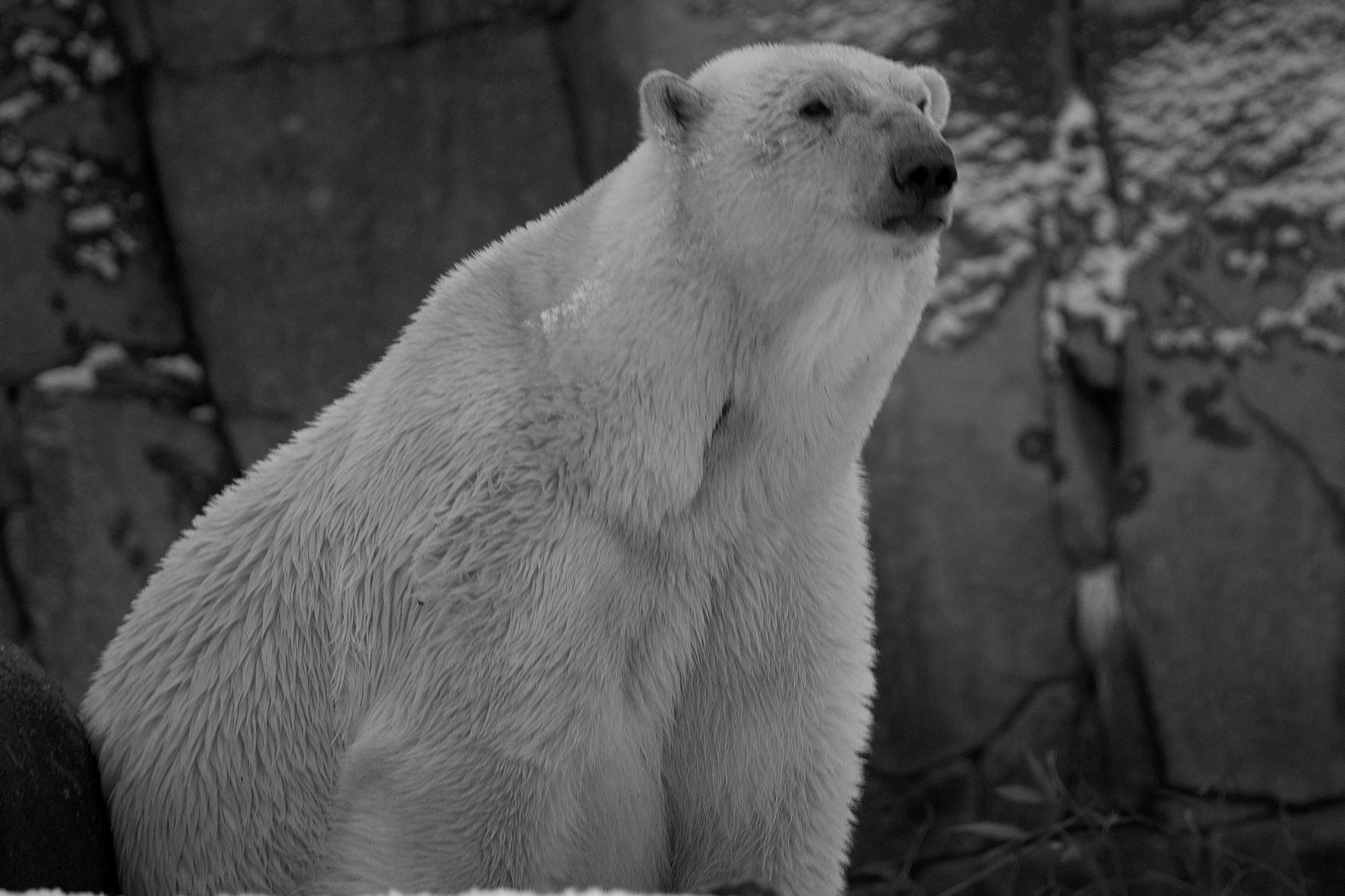 Polar bear she b&w by Mogens