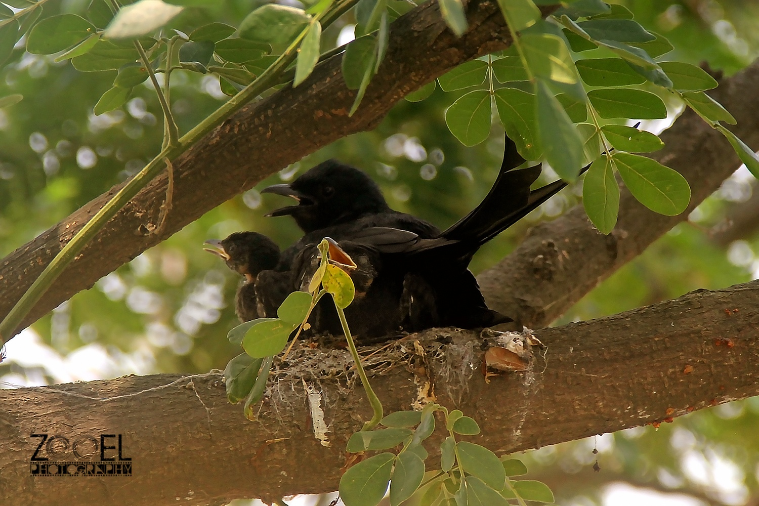 Black Drongo by ZooEL