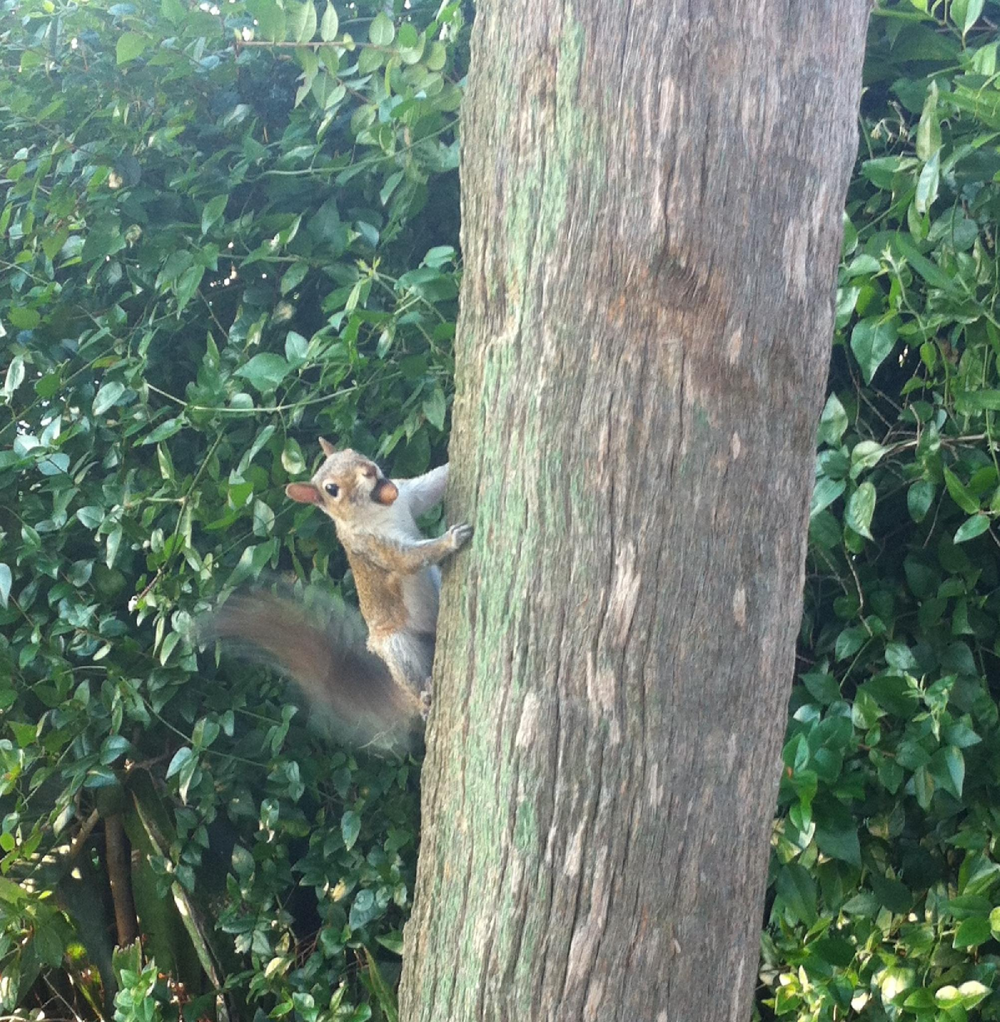 Squirrel with Nut in it's mouth Shaking Tail by Victoria Gallagher