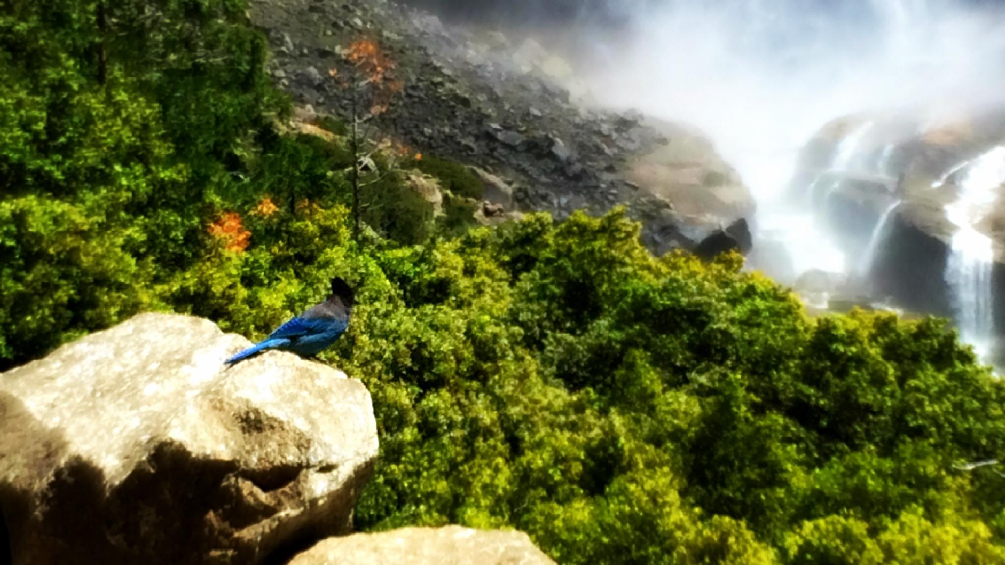 Blue Jay at Yosemite Falls by Victoria Gallagher