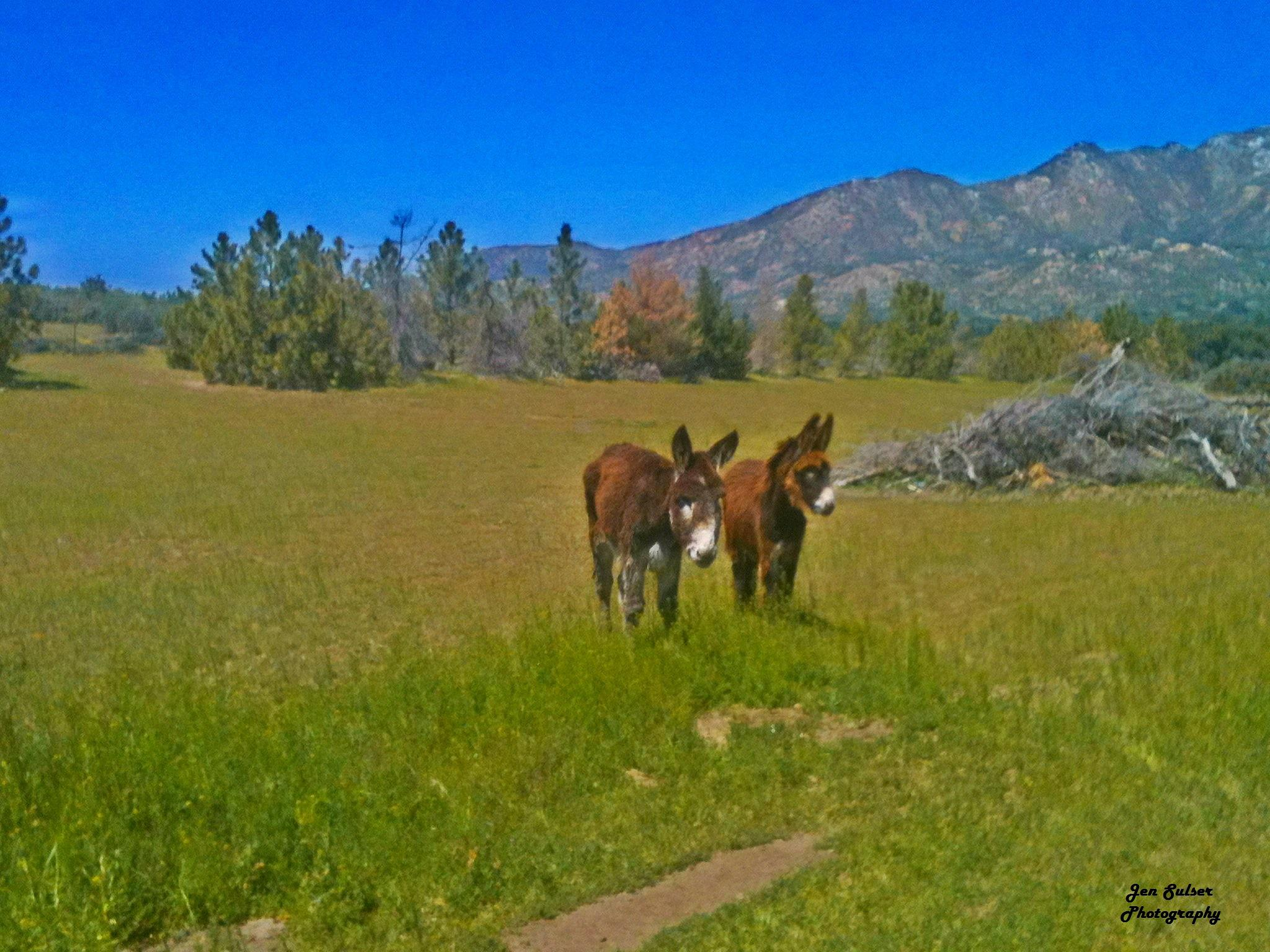 Mammoth Donkeys by Jen Sulser