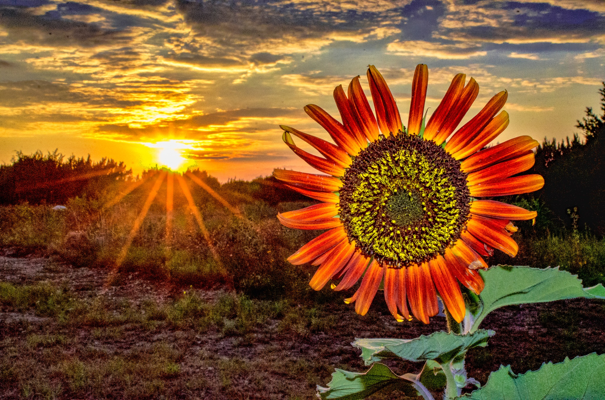 Sunflower Glowing In The Sunset by A. Michael Uhlmann